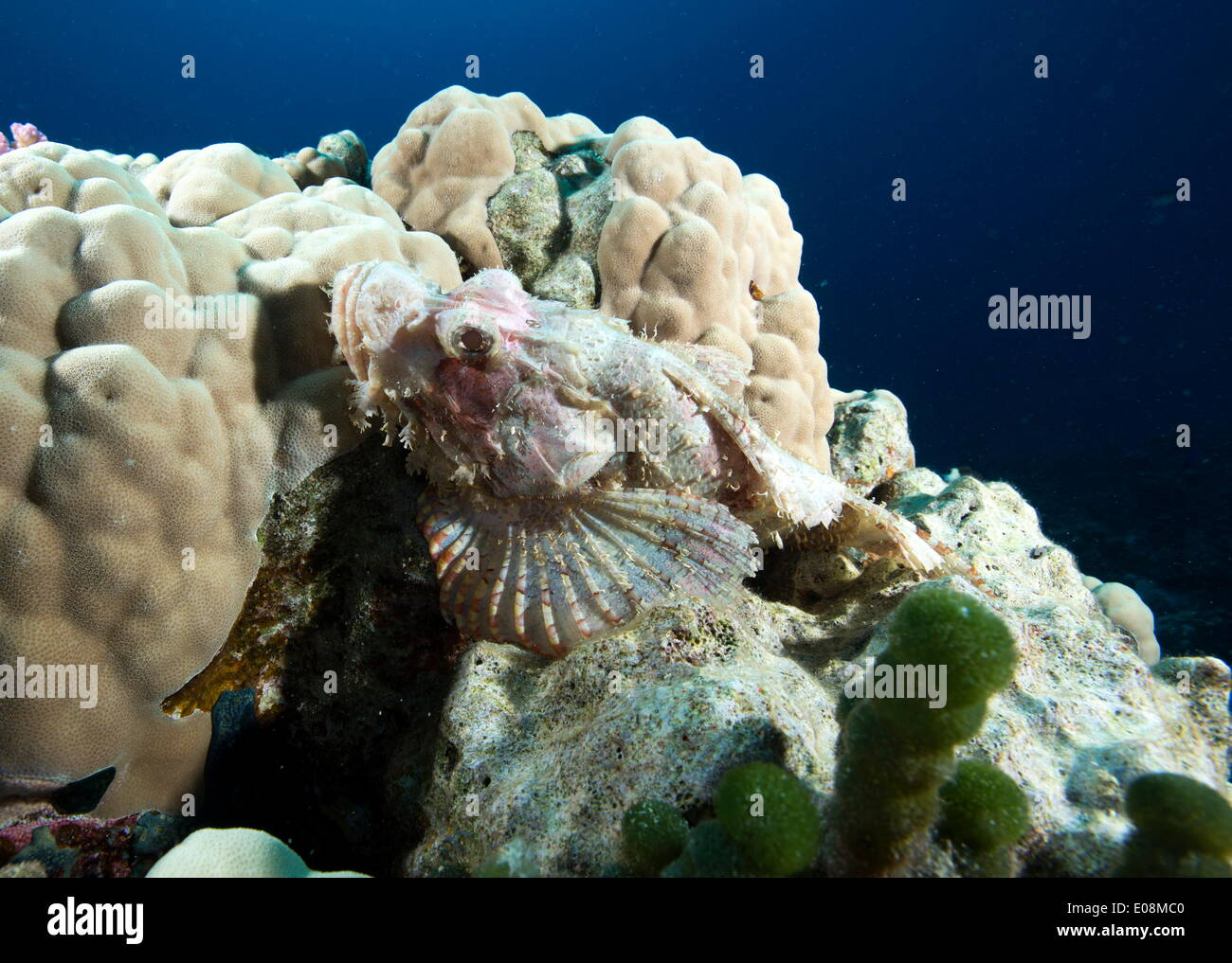 Small scale scorpionfish (Scorpaenopsis oxycephala) (Tassled scorpionfish) in the Red Sea, Marsa Alam, Egypt, North Africa, Africa - Stock Image