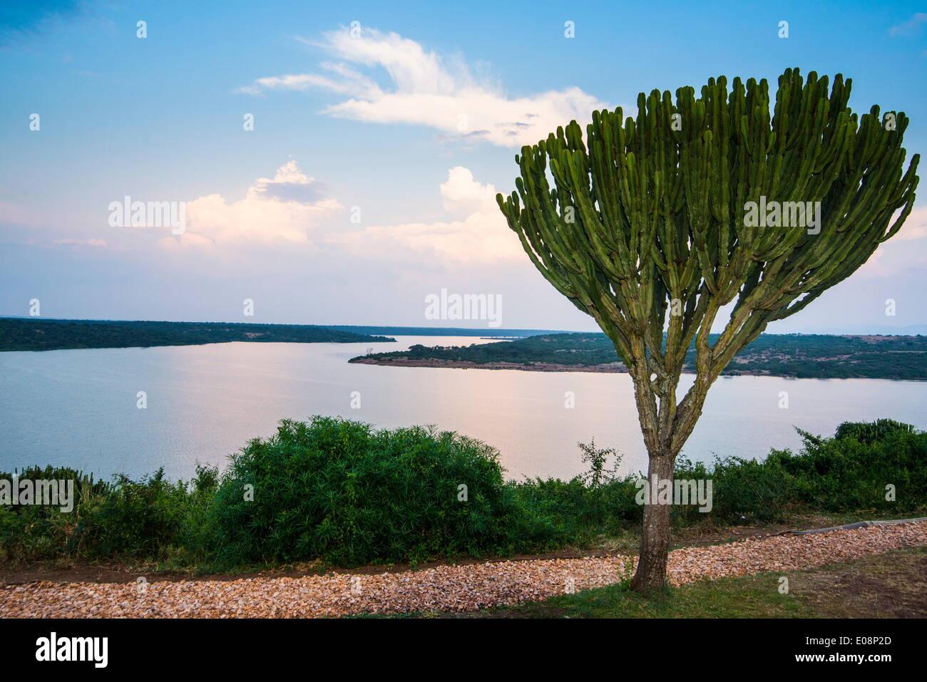 Cactus tree above the Kazinga Channel  linking Lake George and Lake Edward at sunset, Queen Elizabeth National Park, Stock Photo