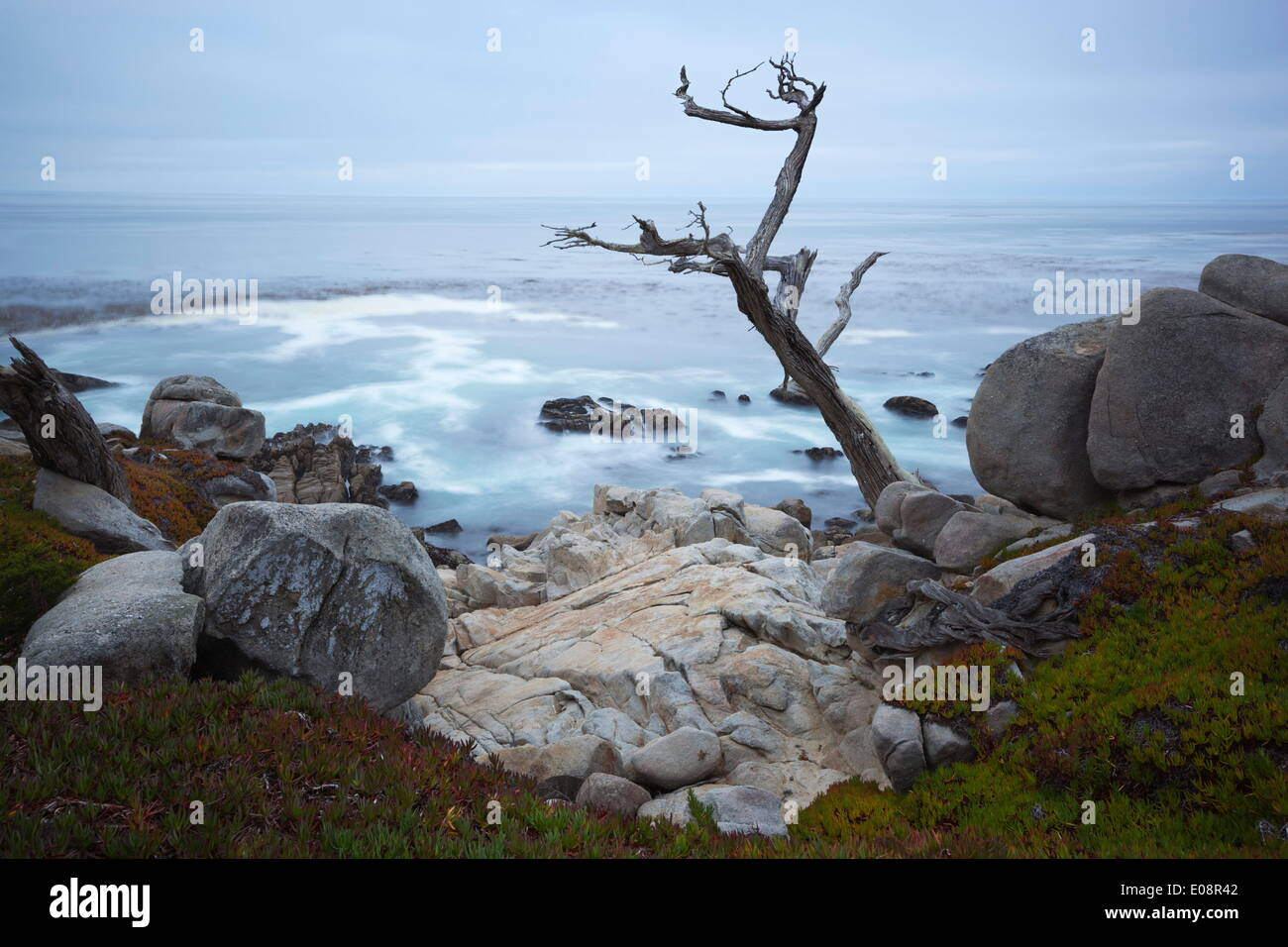 Jagged tree along 17 Mile Drive, Carmel, Monterey County, California, United States of America, North America - Stock Image