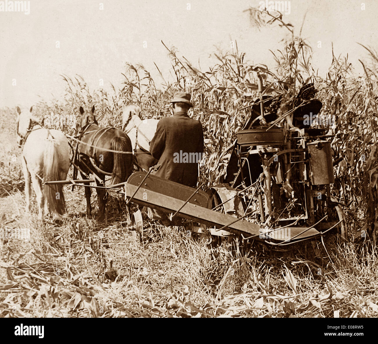 Corn harvesting in Indiana early 1900s - Stock Image