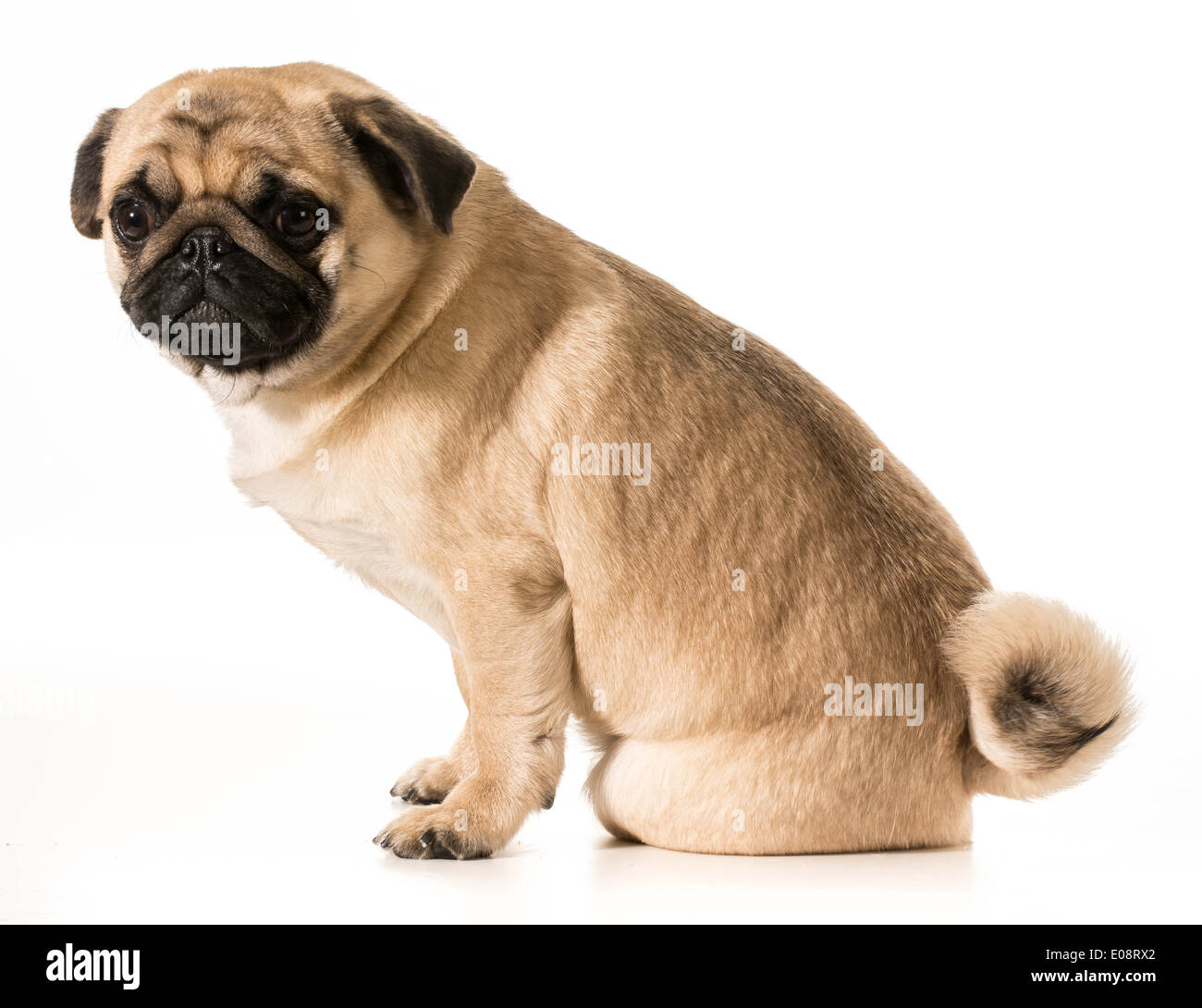 worried dog - pug with worried expression sitting on white background - Stock Image