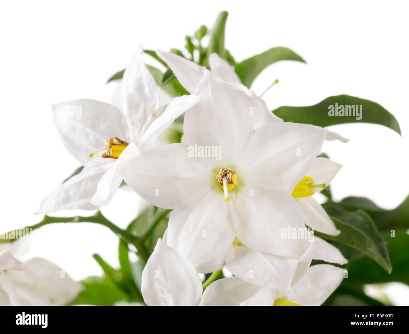 Flowering Jasmine Stock Photos Flowering Jasmine Stock Images Alamy