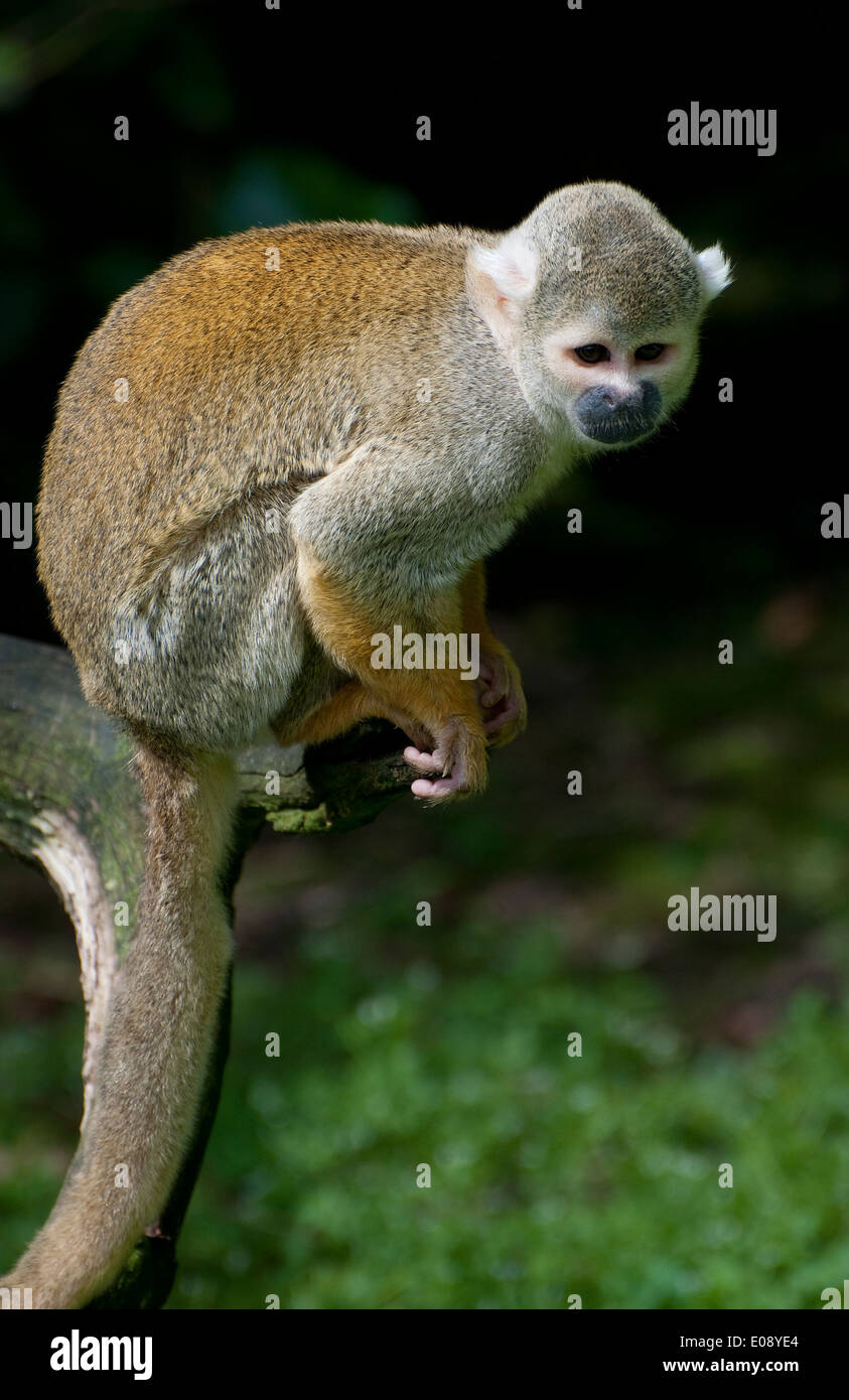 black headed squirrel monkey - Stock Image