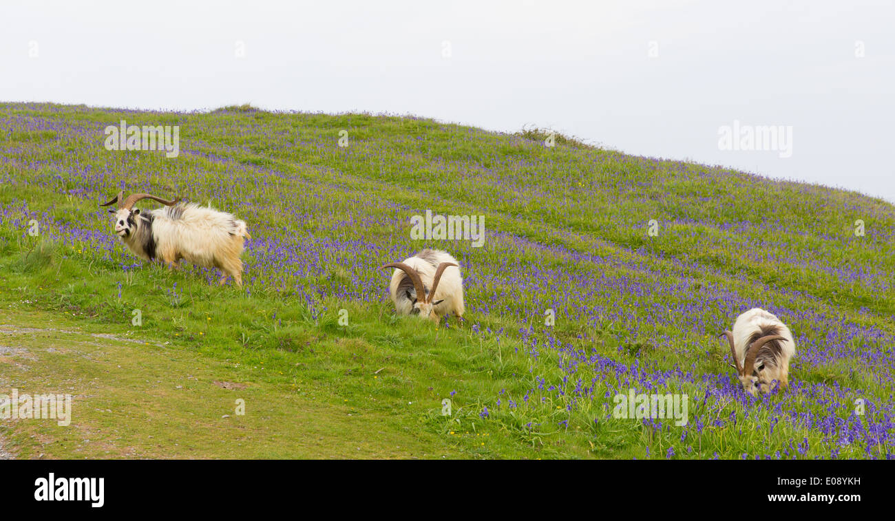 British Primitive goat breed large horns and beard white grey and black with bluebells - Stock Image
