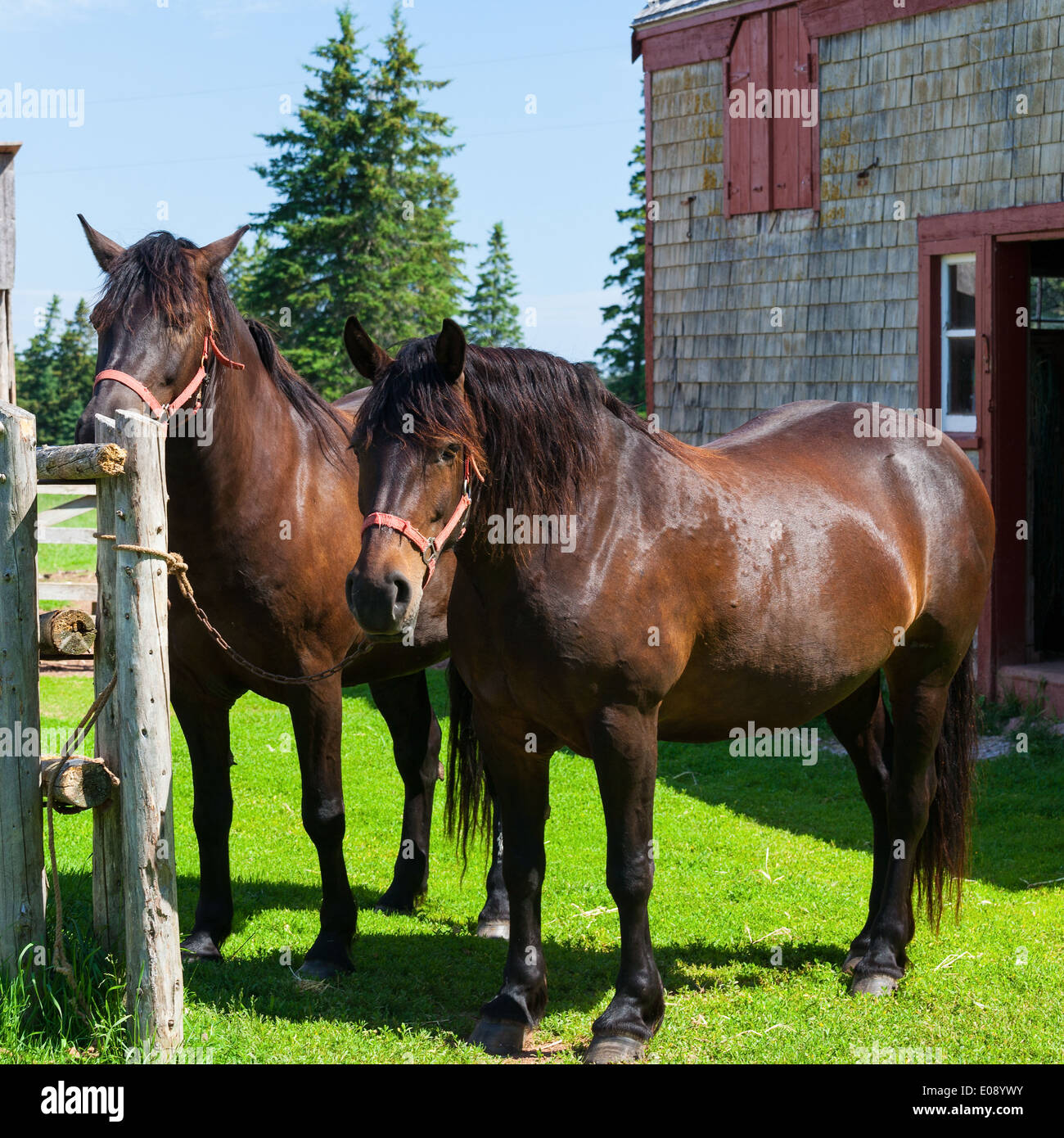 The Canadian Horse Is A Horse Breed From Canada That Is A Strong Stock Photo Alamy