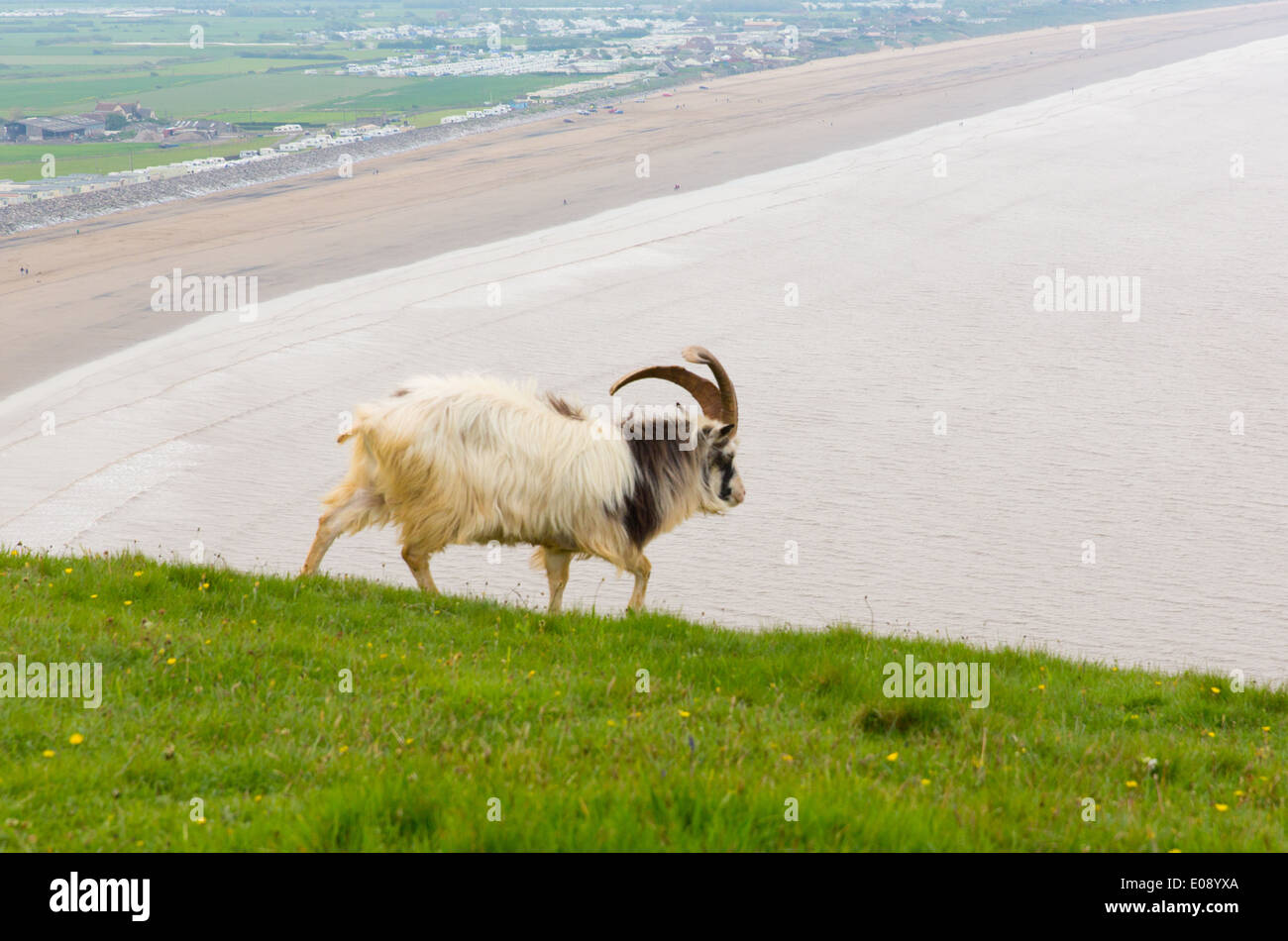 British Primitive goat breed large horns Brean Down Somerset - Stock Image