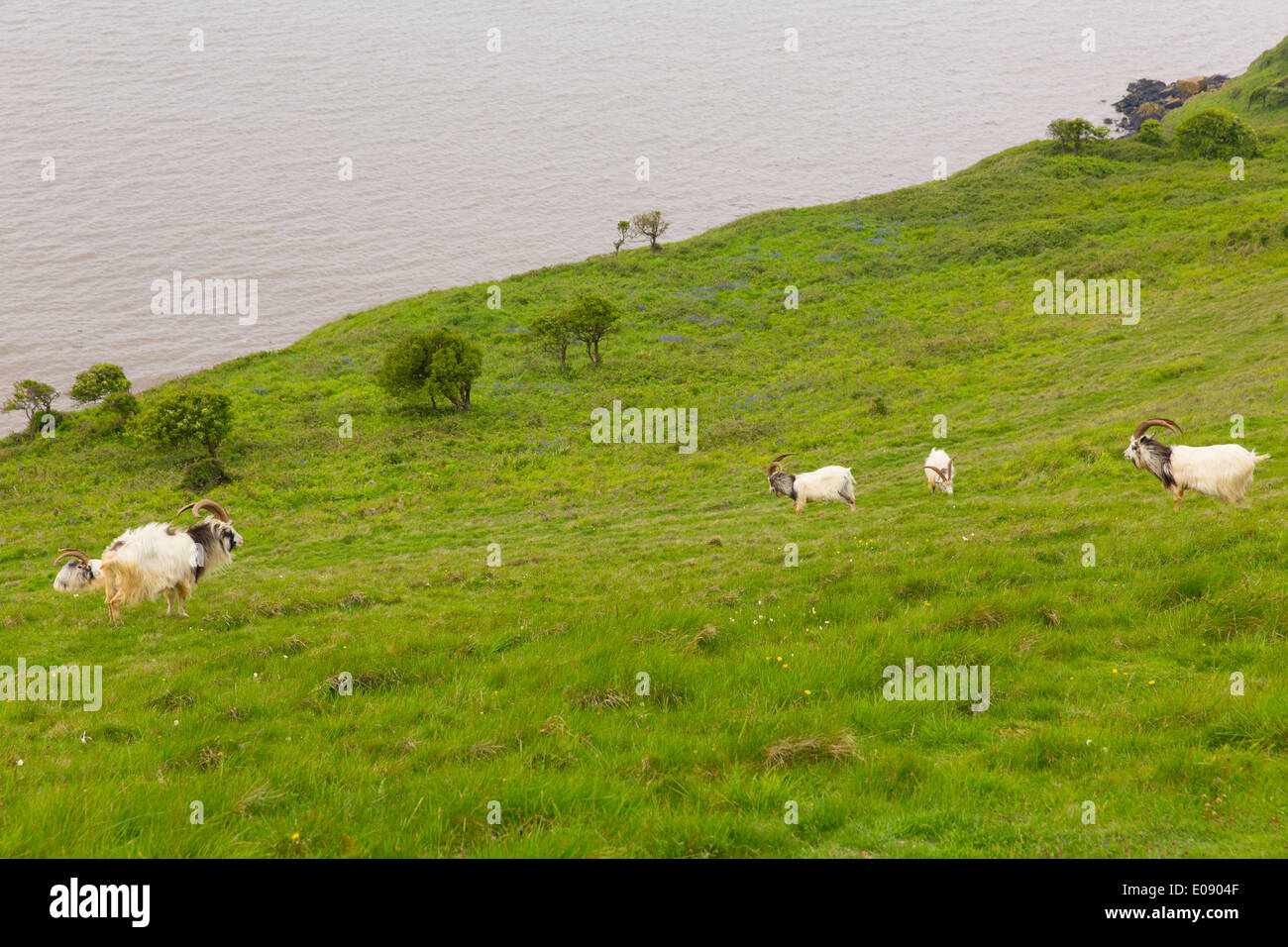 British Primitive goat breed large horns and beard white grey and black Brean Down Somerset England - Stock Image