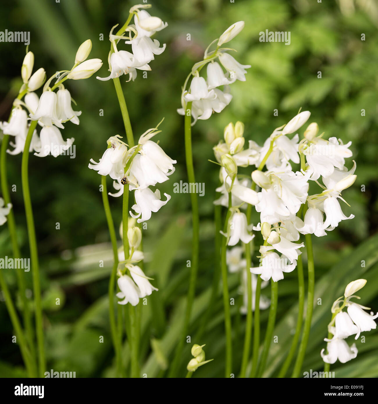 White bluebell stock photos white bluebell stock images alamy white bluebell hispanica flowers in spring bloom in an oxfordshire garden shipton under wychwood england united mightylinksfo