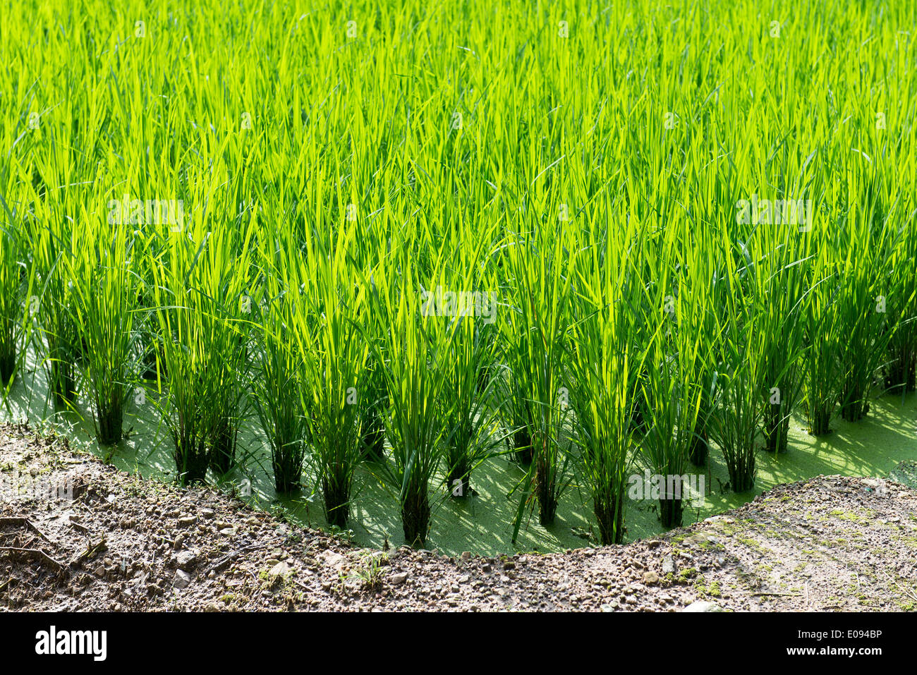 Green rice field background with young rice plants - Stock Image