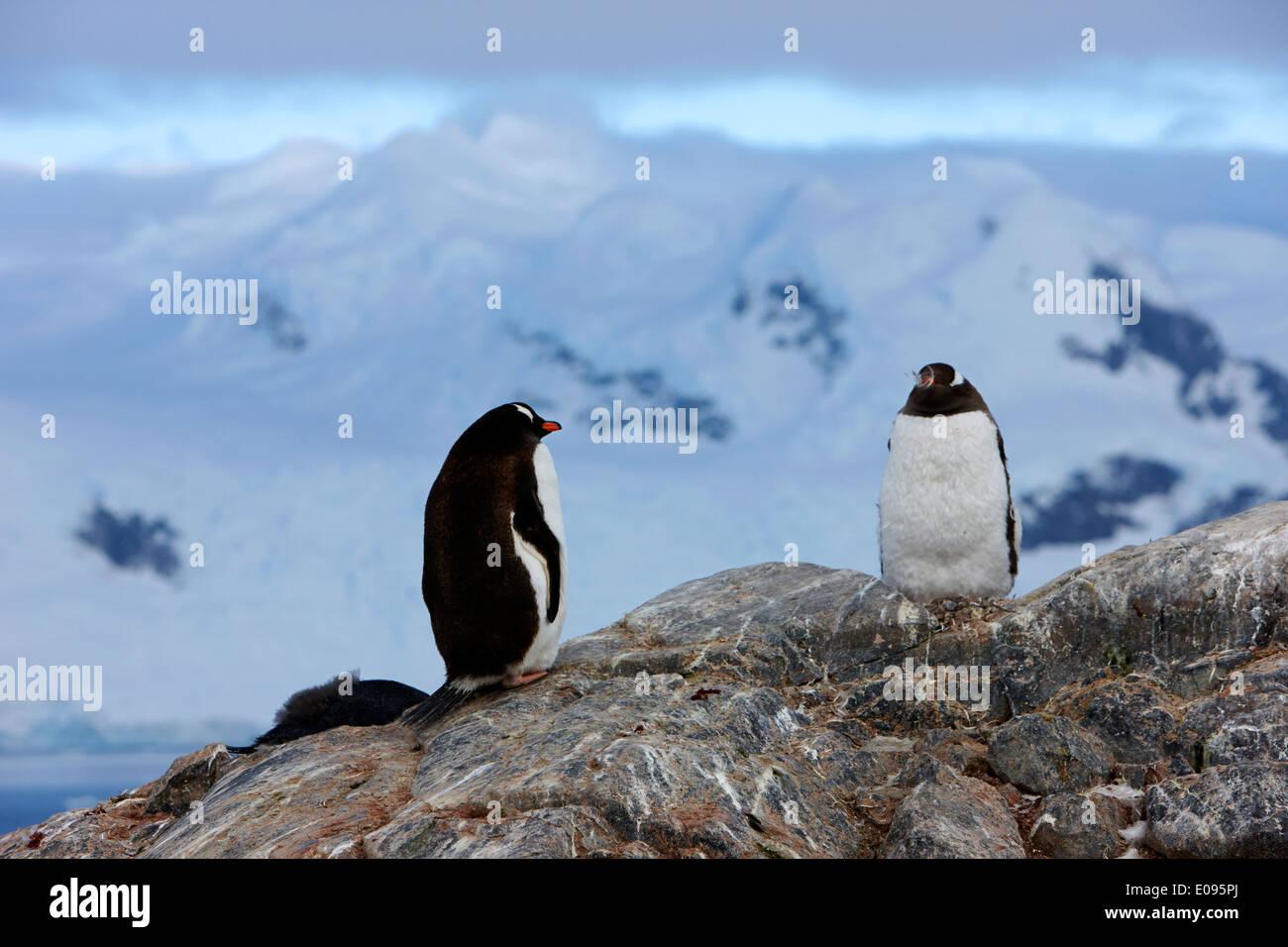 juvenile gentoo penguins on rocks at Neko Harbour arctowski peninsula Antarctic mainland Antarctica Stock Photo