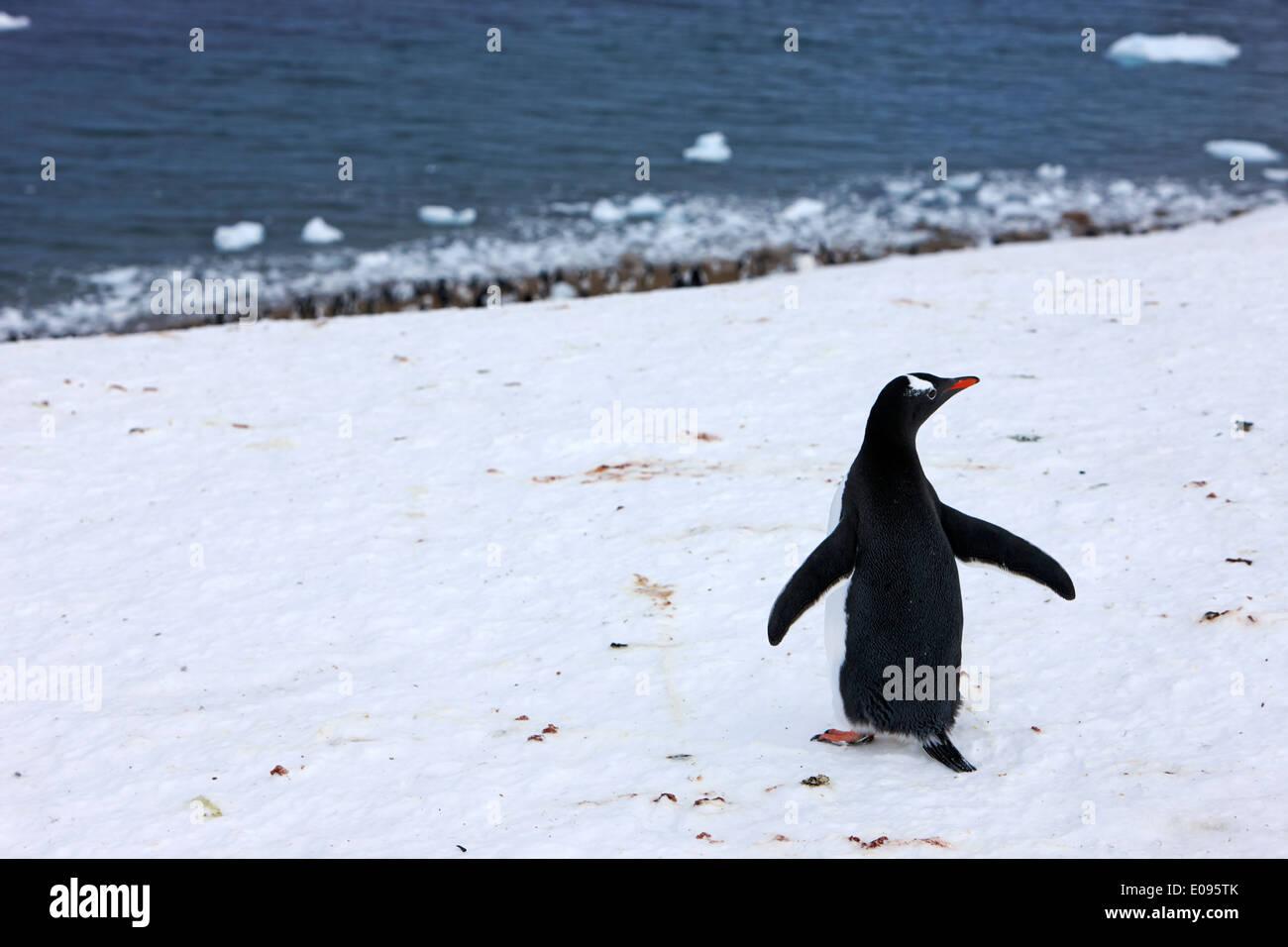 gentoo penguin walking downhill to Neko Harbour colony Antarctic mainland Antarctica - Stock Image