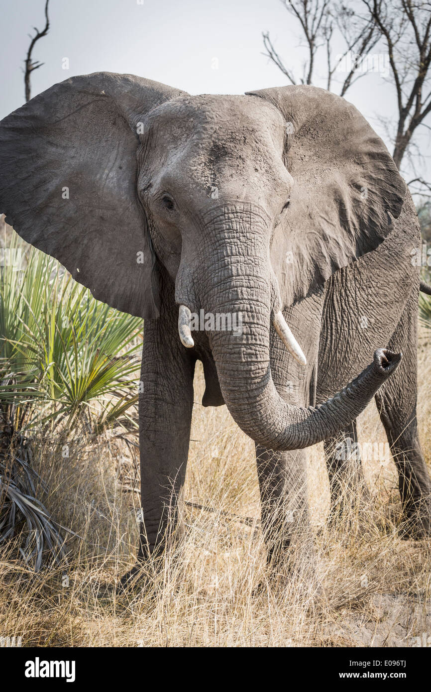 African bush elephant (Loxodonta africana) in must adopting an aggressive stance with raised trunk, Okavango Delta, Botswana - Stock Image