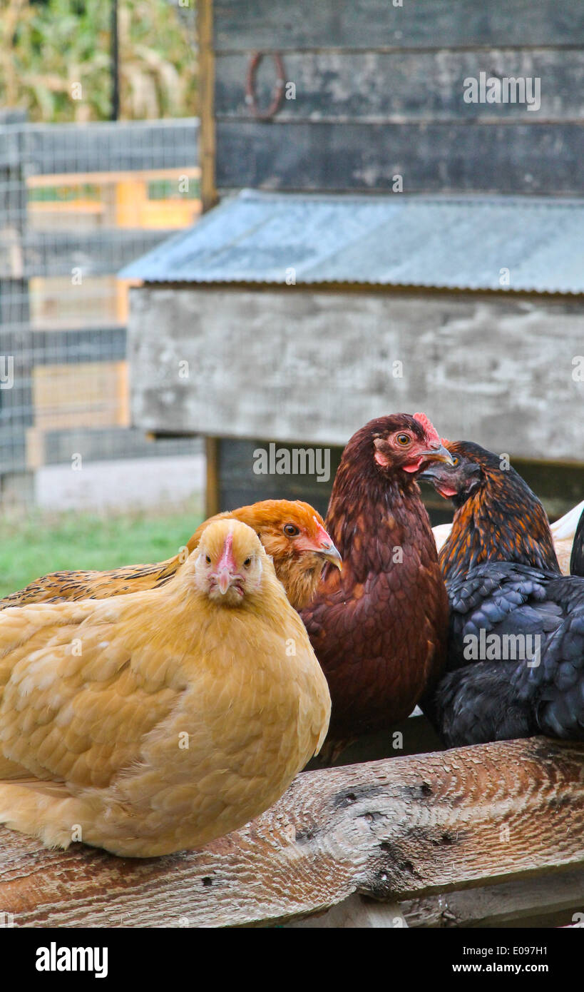 Hens perched together - Vertical Orientation - Stock Image
