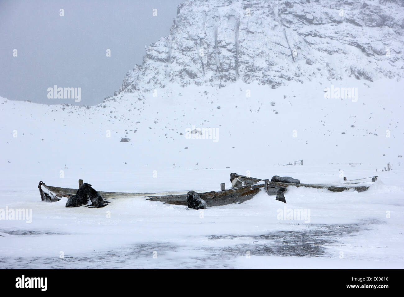 fur seals and remains of old wooden whaling boats whalers bay deception island Antarctica - Stock Image