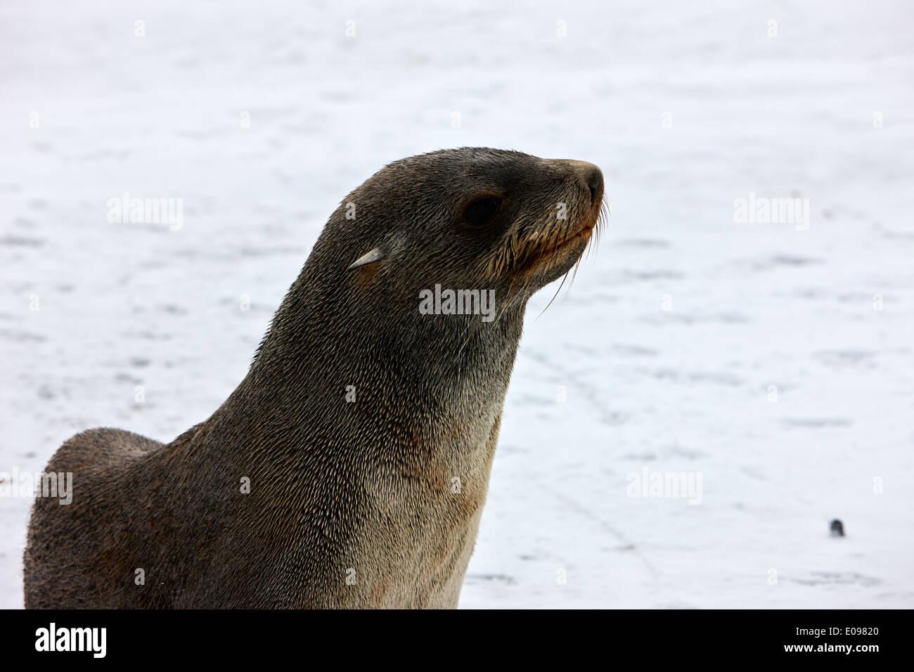 juvenile fur seal hannah point Antarctica - Stock Image