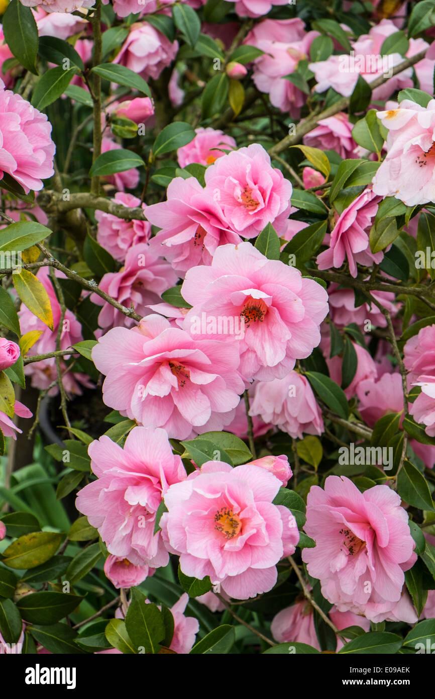 Camellia × williamsii 'Debbie' - Stock Image
