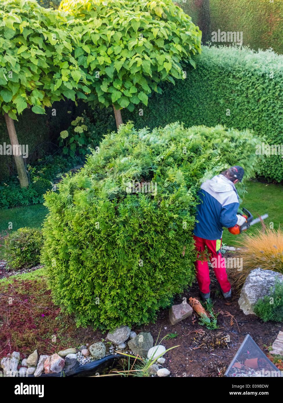 A gardener re-edits a Thuje. Works in the garden., Ein Gaertner schneidet eine Thuje um. Arbeiten im Garten. Stock Photo