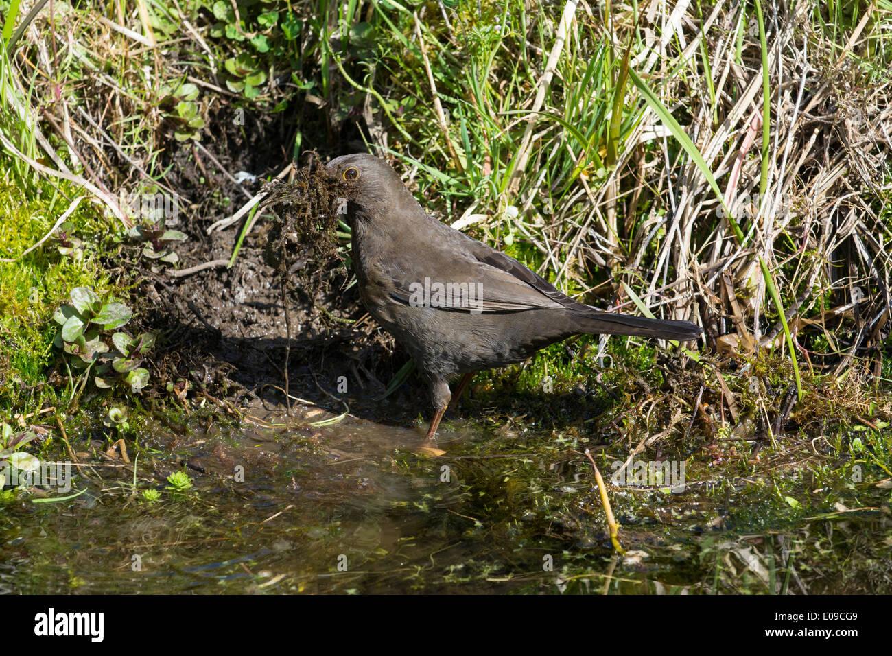 Blackbird, Turdus merula, female collecting nest material beside garden pond, April. - Stock Image