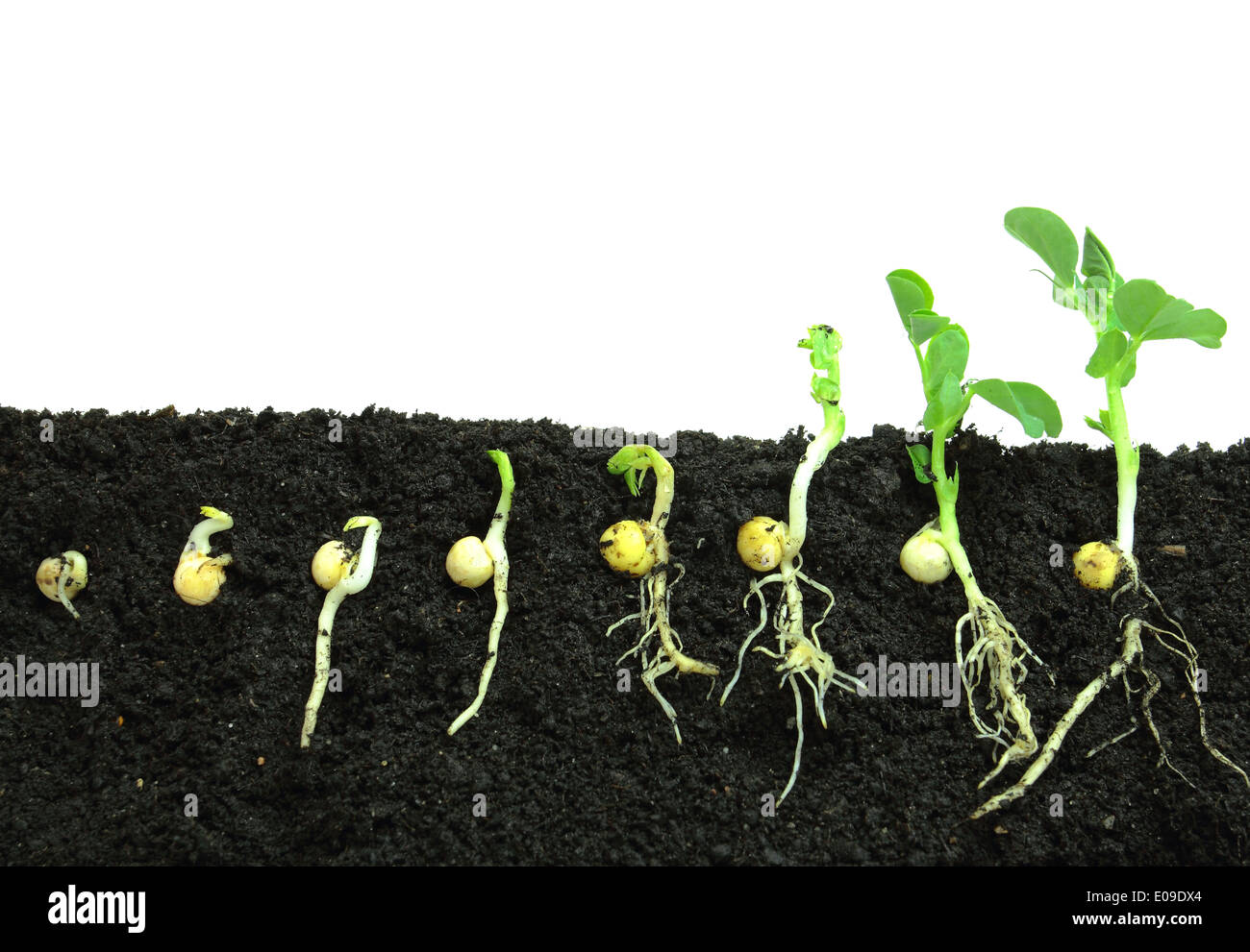 germinated peas report 2018-10-09 the differences in photosynthesis and respiration in germinating and non-germinating peas may help us explain the adaptations plants have made to be successful organisms many plants generate seeds to produce their offspring.