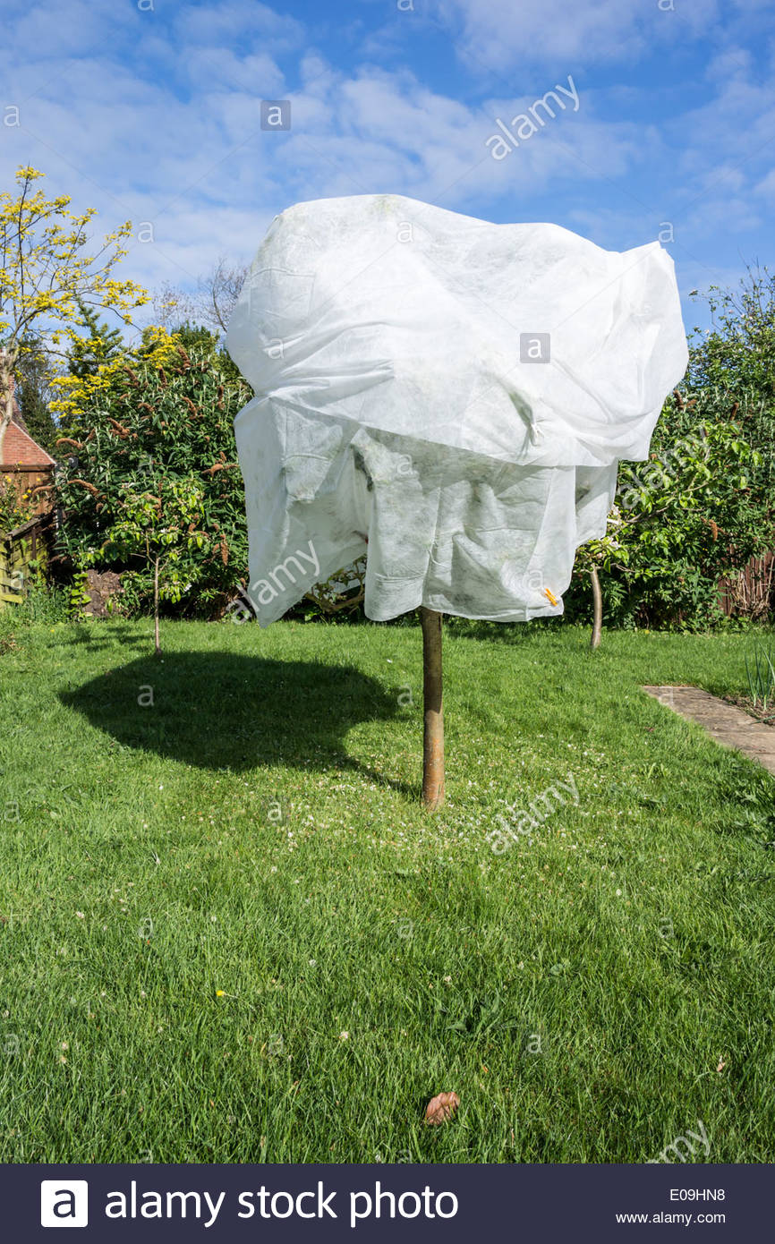 Apple tree covered in fleece material to protect from frost - Stock Image