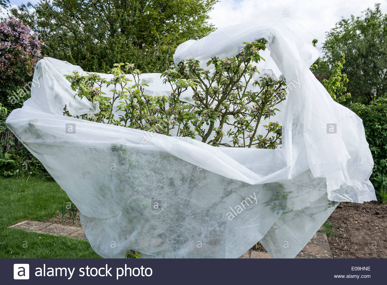 Apple tree partially covered in fleece material for frost protection - Stock Image