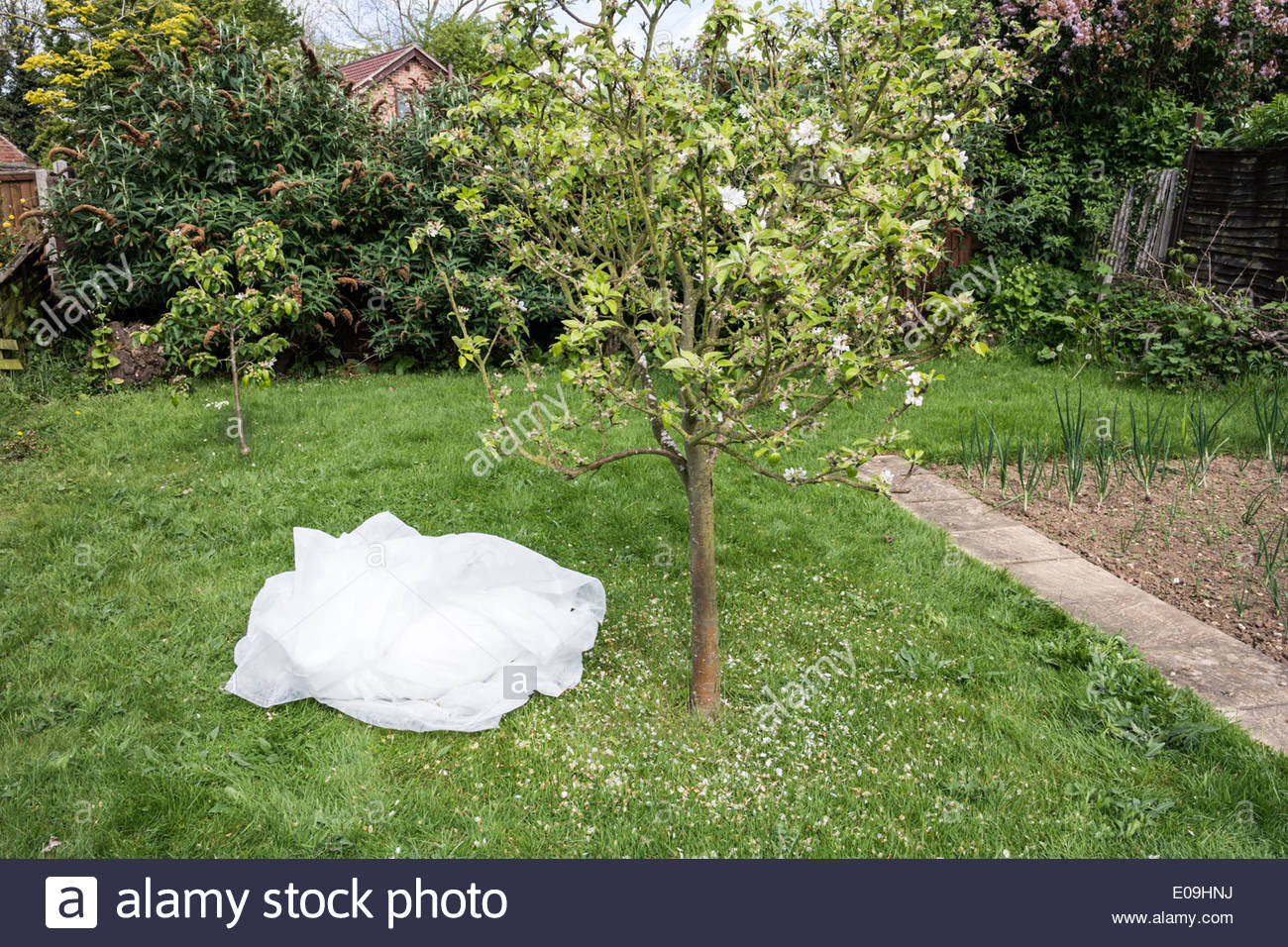 Apple tree and protective fleece used for frost protection - Stock Image