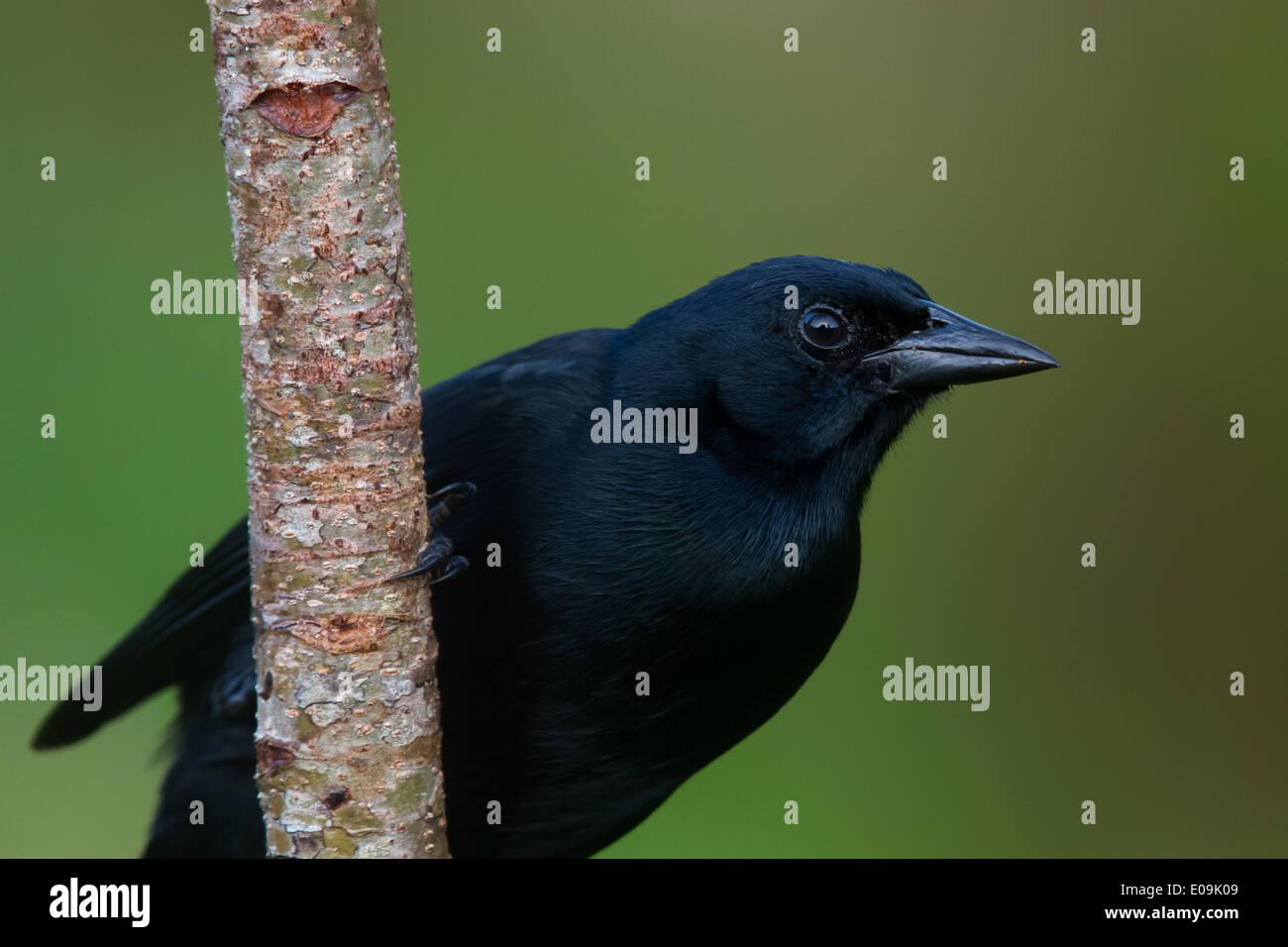 Melodious Blackbird (Dives dives) - Stock Image