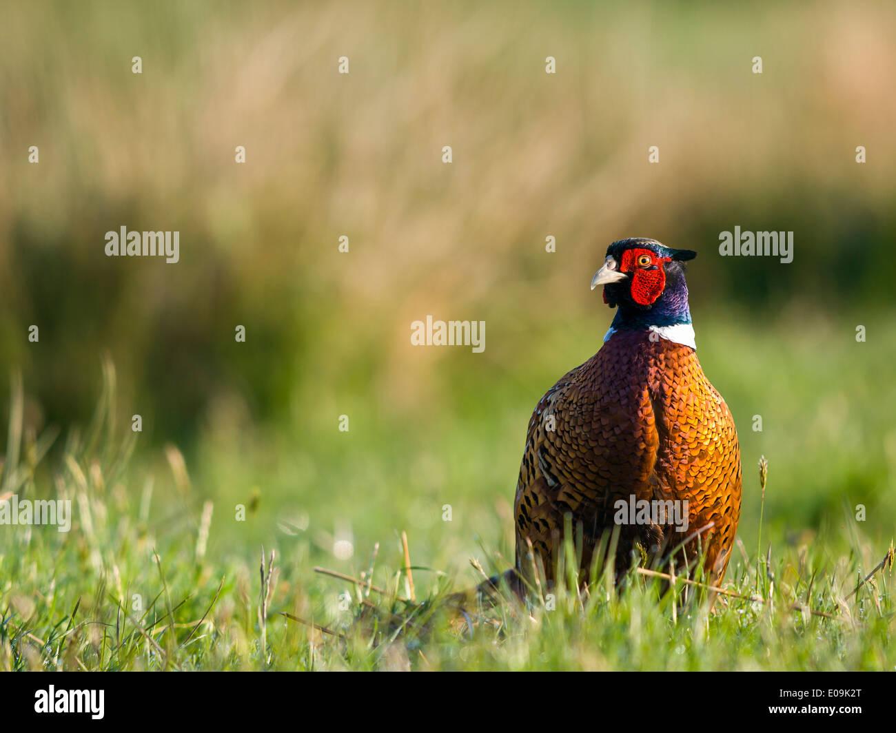 common pheasant, male, phasianus colchicus, germany - Stock Image
