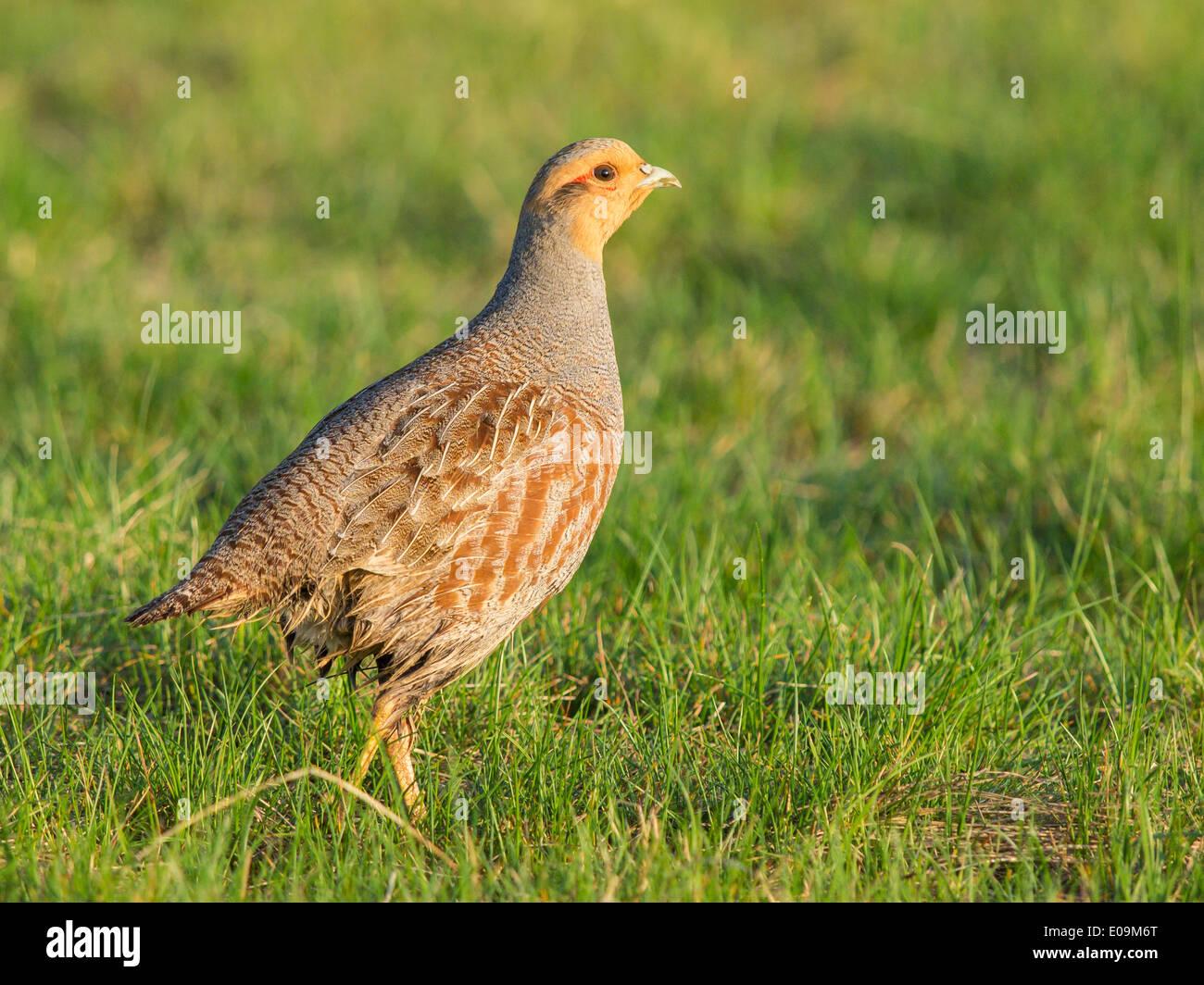grey partridge, perdix perdix - Stock Image