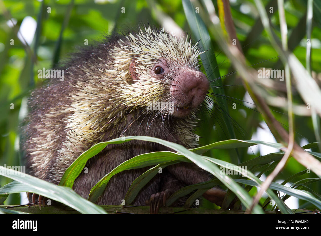 Mexican hairy dwarf porcupine (Sphiggurus mexicanus) Stock Photo