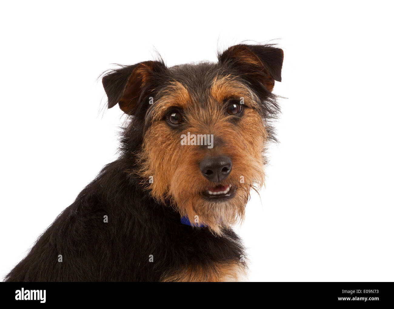 A Terrier dog portrait on a white back ground - Stock Image
