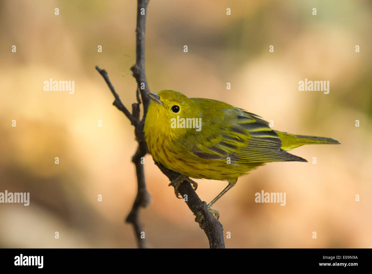 male Yellow Warbler (Dendroica petechia) - Stock Image