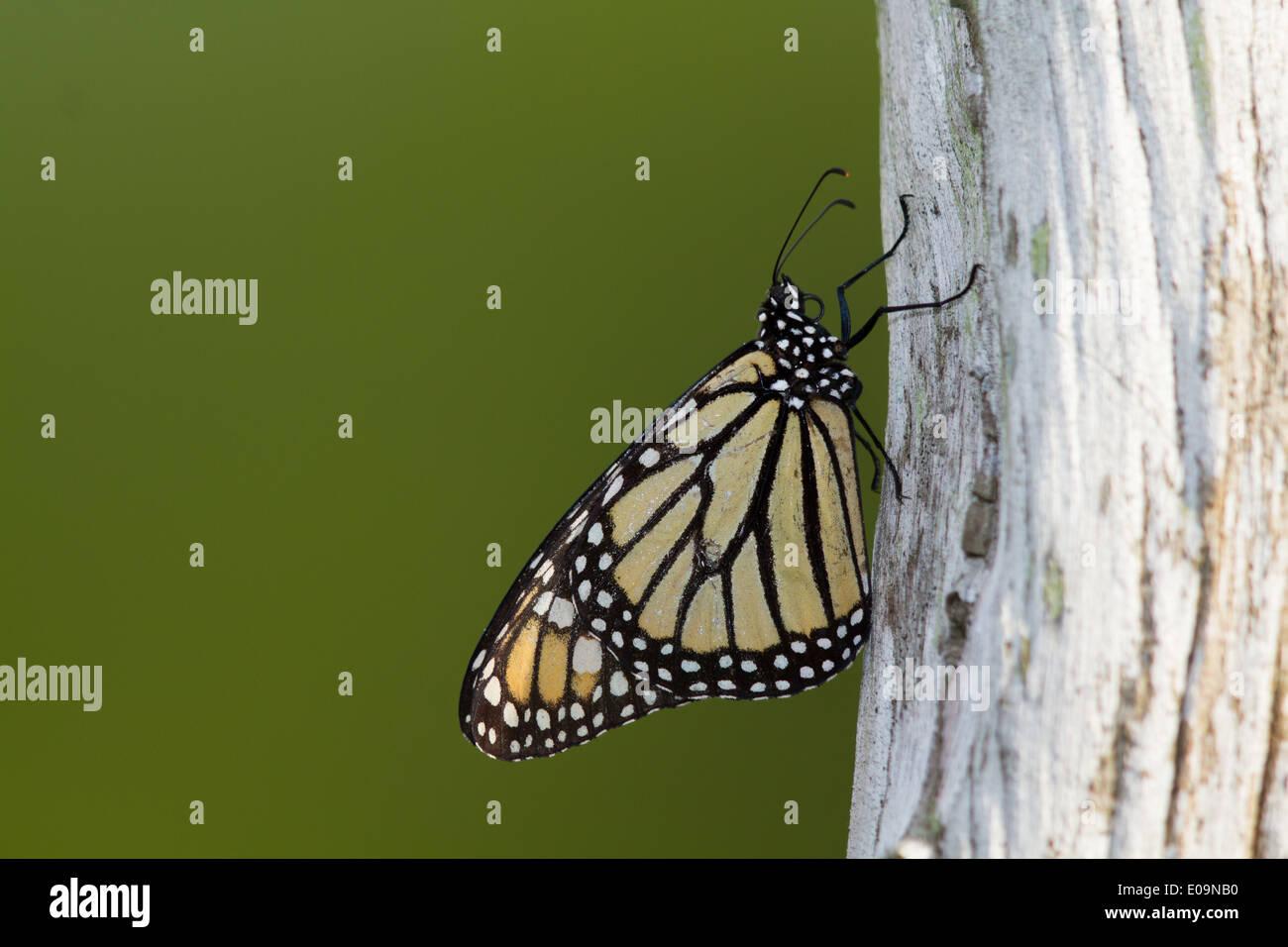 Monarch butterfly (Danaus plexippus) resting on a fencepost - Stock Image