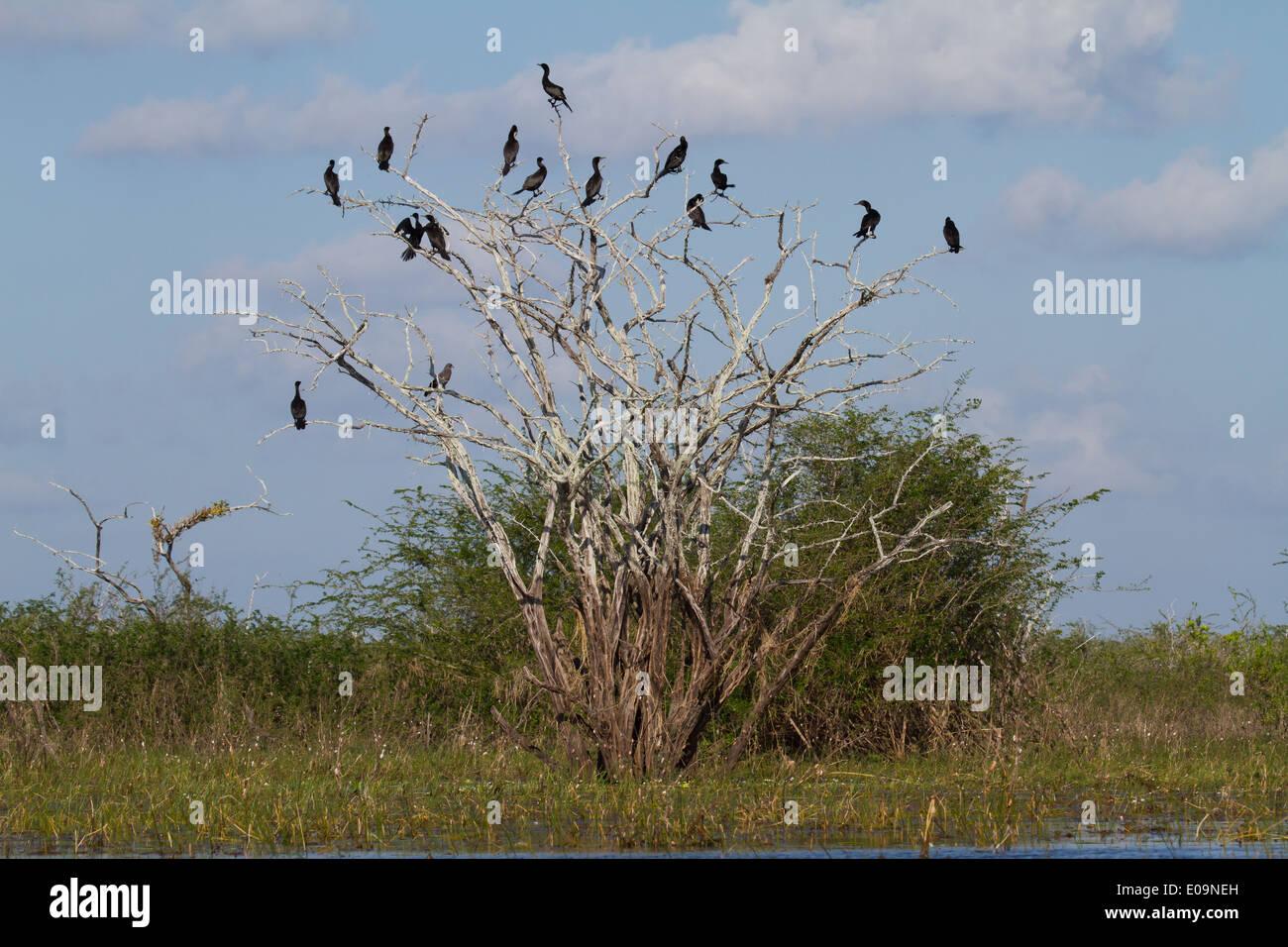 Neotropic Cormorants (Phalacrocorax brasilianus) roosting on a dead tree - Stock Image