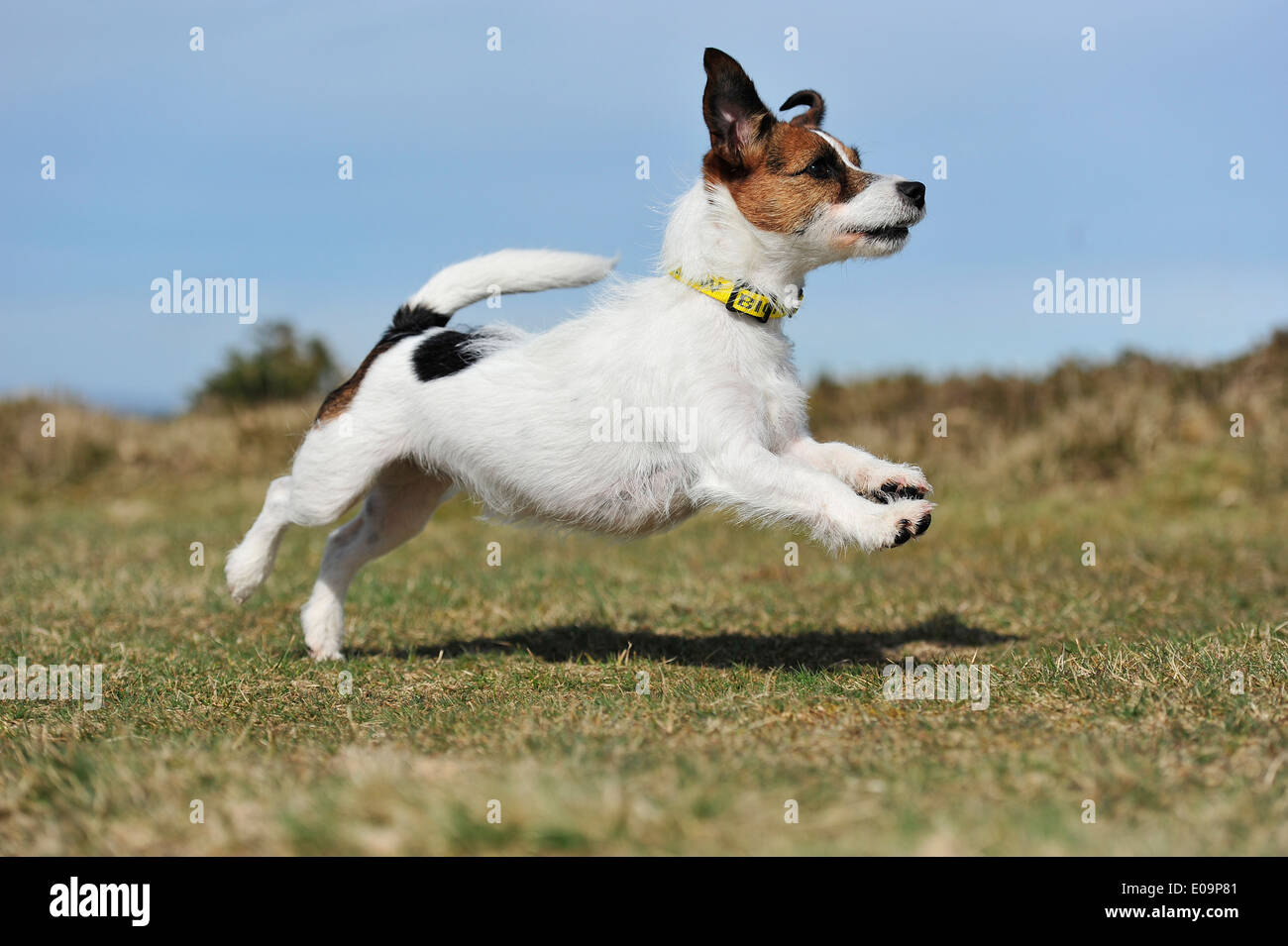 leaping jack russell terrier dog - Stock Image