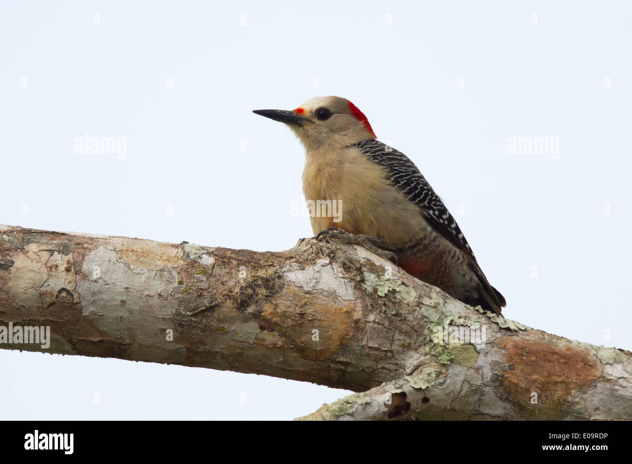 Golden-fronted Woodpecker (Melanerpes aurifrons) Stock Photo