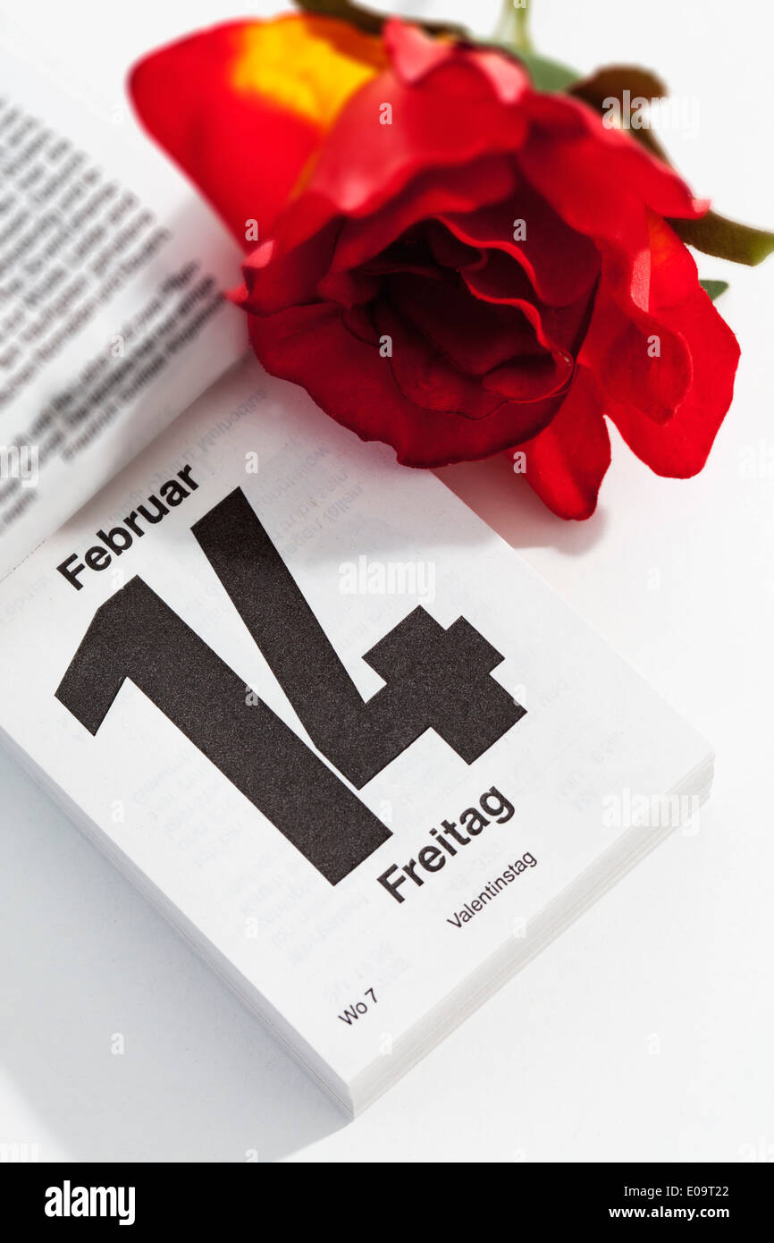Red rose and tear-off calendar showing date of Valentine's day on white ground - Stock Image