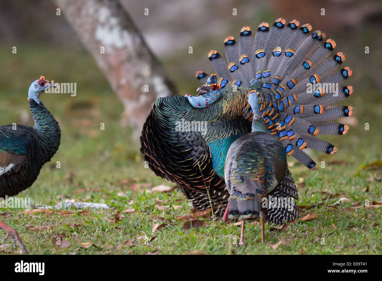 male Ocellated Turkey (Meleagris ocellata) displaying to two females - Stock Image
