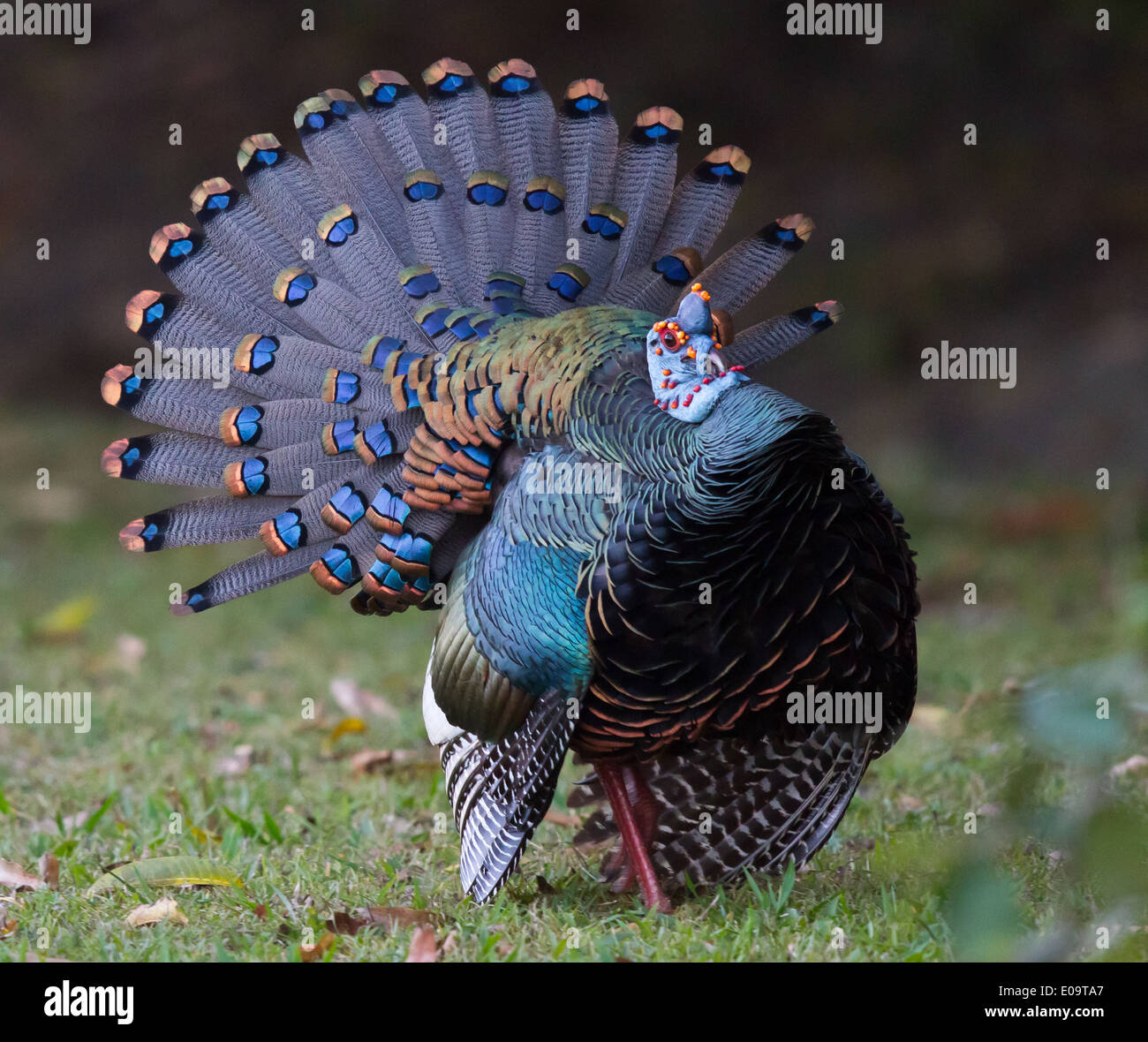 male Ocellated Turkey (Meleagris ocellata) displaying - Stock Image