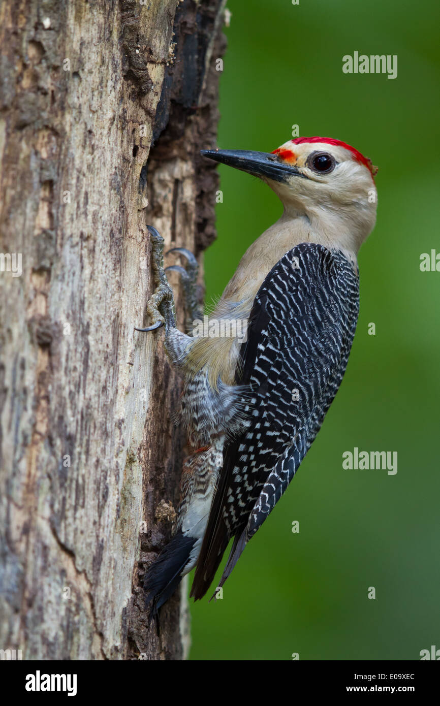 male Golden-fronted Woodpecker (Melanerpes aurifrons) Stock Photo