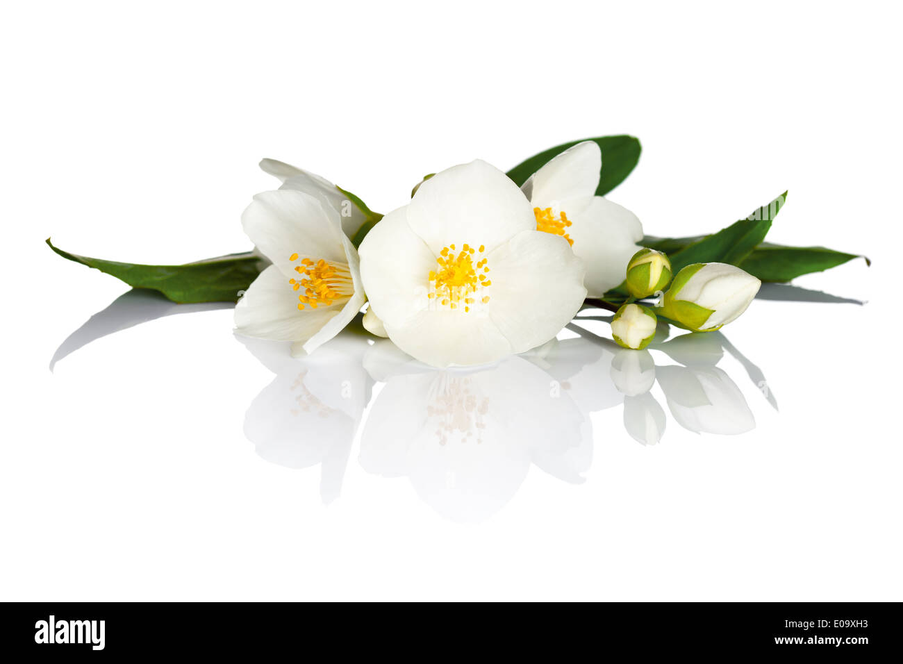 Jasmine flowers with green leaves on white background. Macro shot - Stock Image