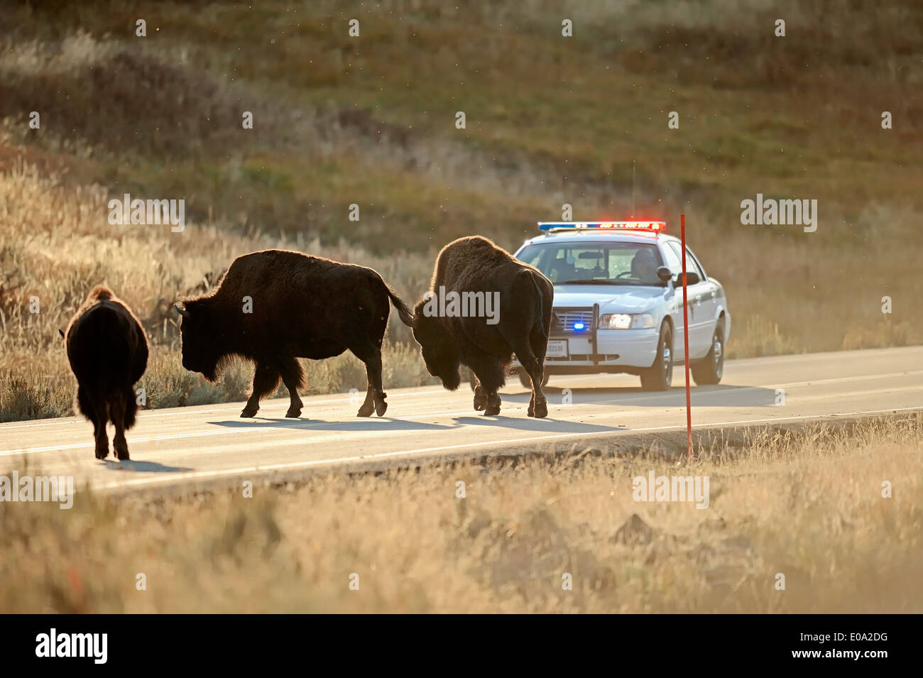 American Bisons or American Buffalos (Bison bison) standing on a road in front of a park ranger car, Yellowstone Stock Photo