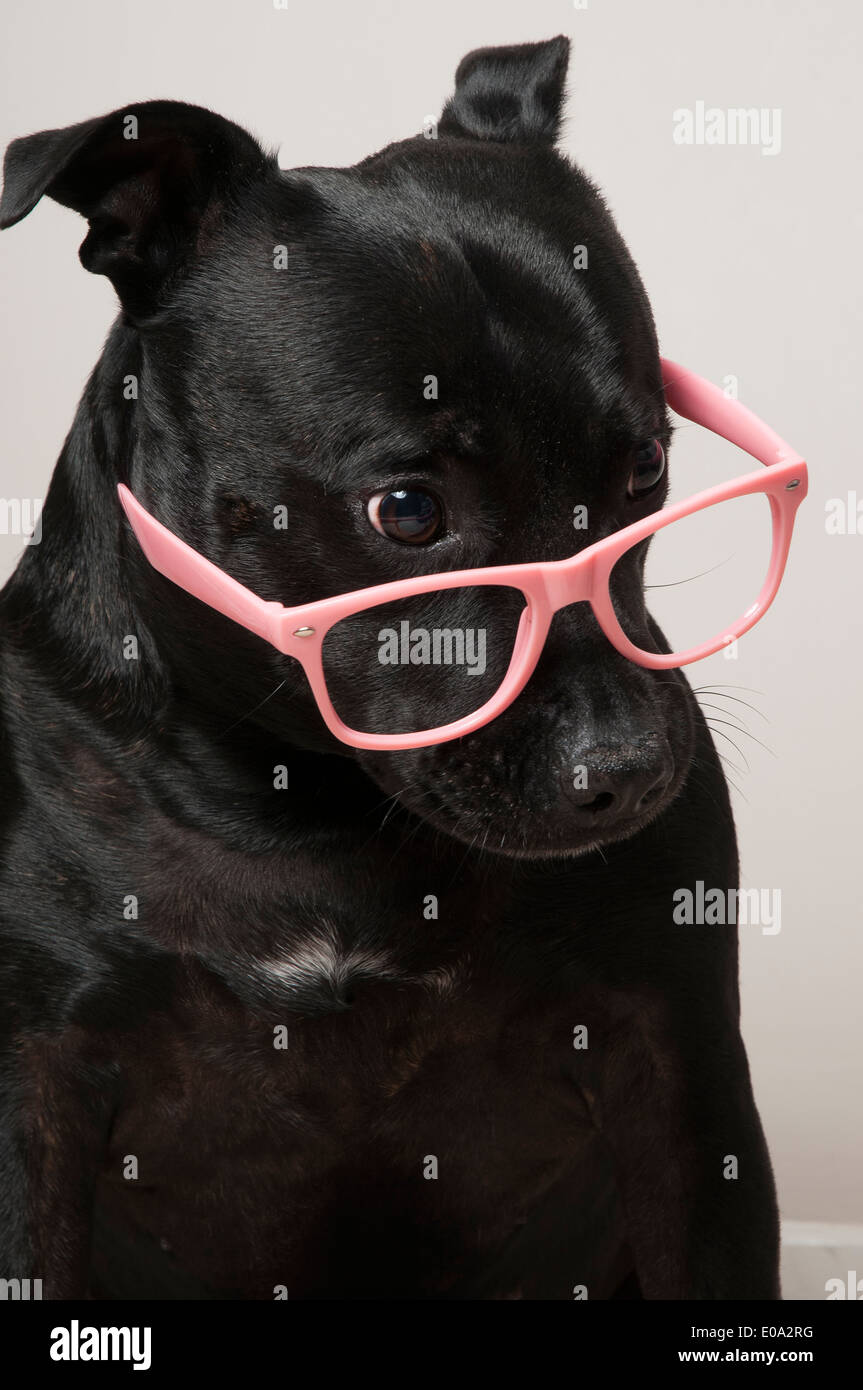 Black staffie dog wearing pink glasses - Stock Image