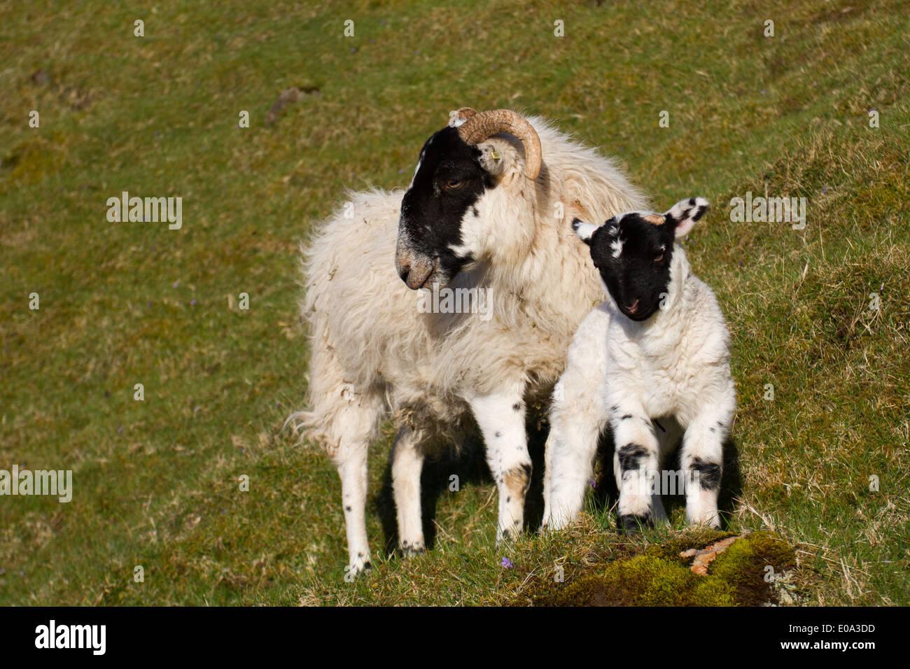 Black-faced Sheep ewe and lamb - Stock Image