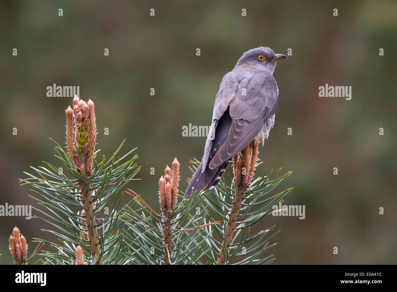 female Common Cuckoo (Cuculus canorus) - Stock Image