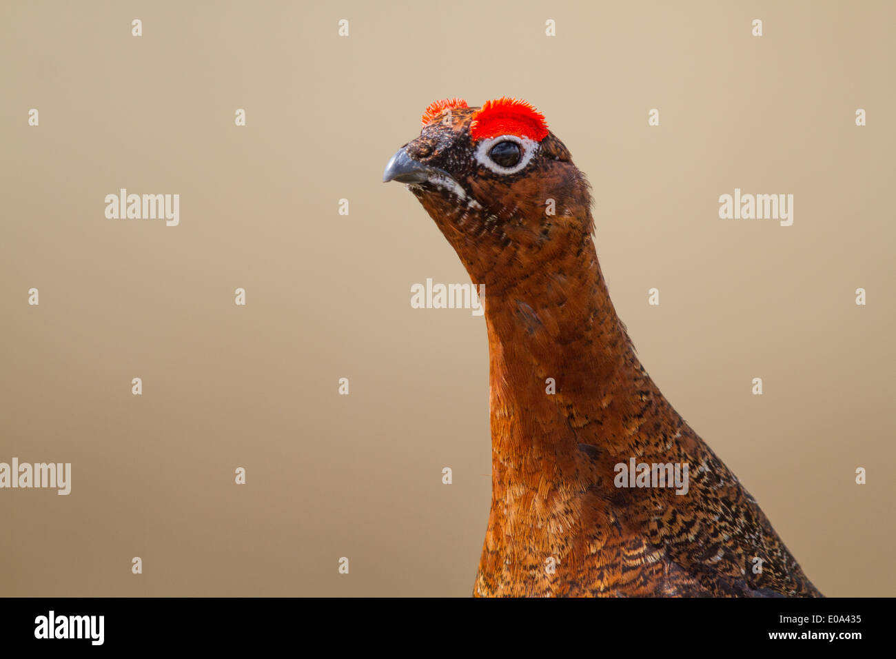 male Red Grouse (Lagopus lagopus scoticus) head - Stock Image