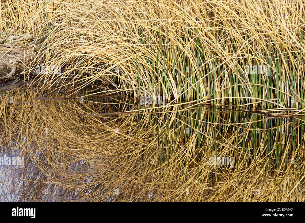 reflections of tan and green reeds in still water forming lines and curves - Stock Image
