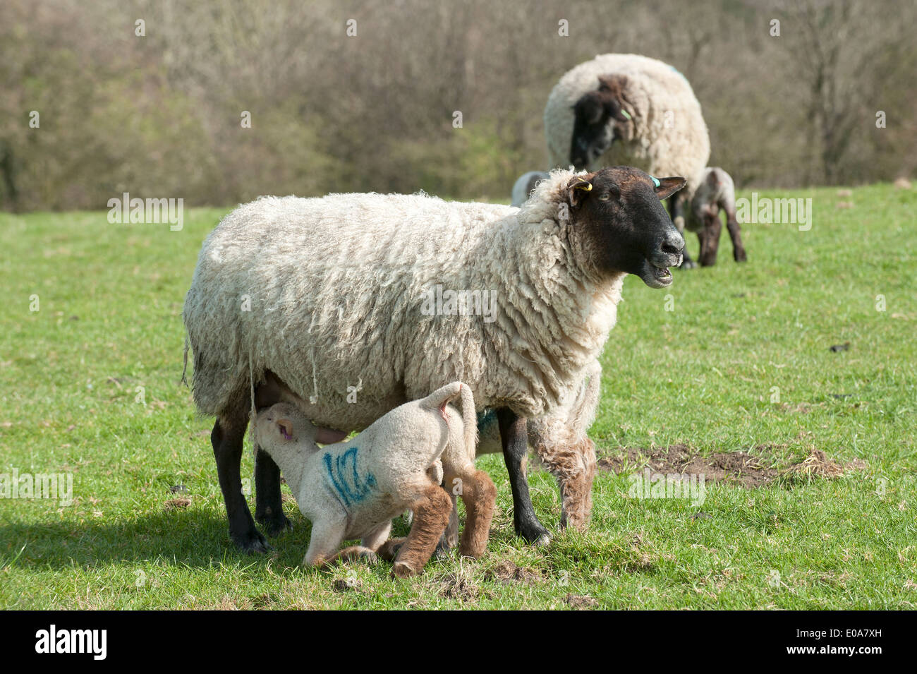 Lamb feeding from ewe. South Downs National Park, Hampshire UK - Stock Image