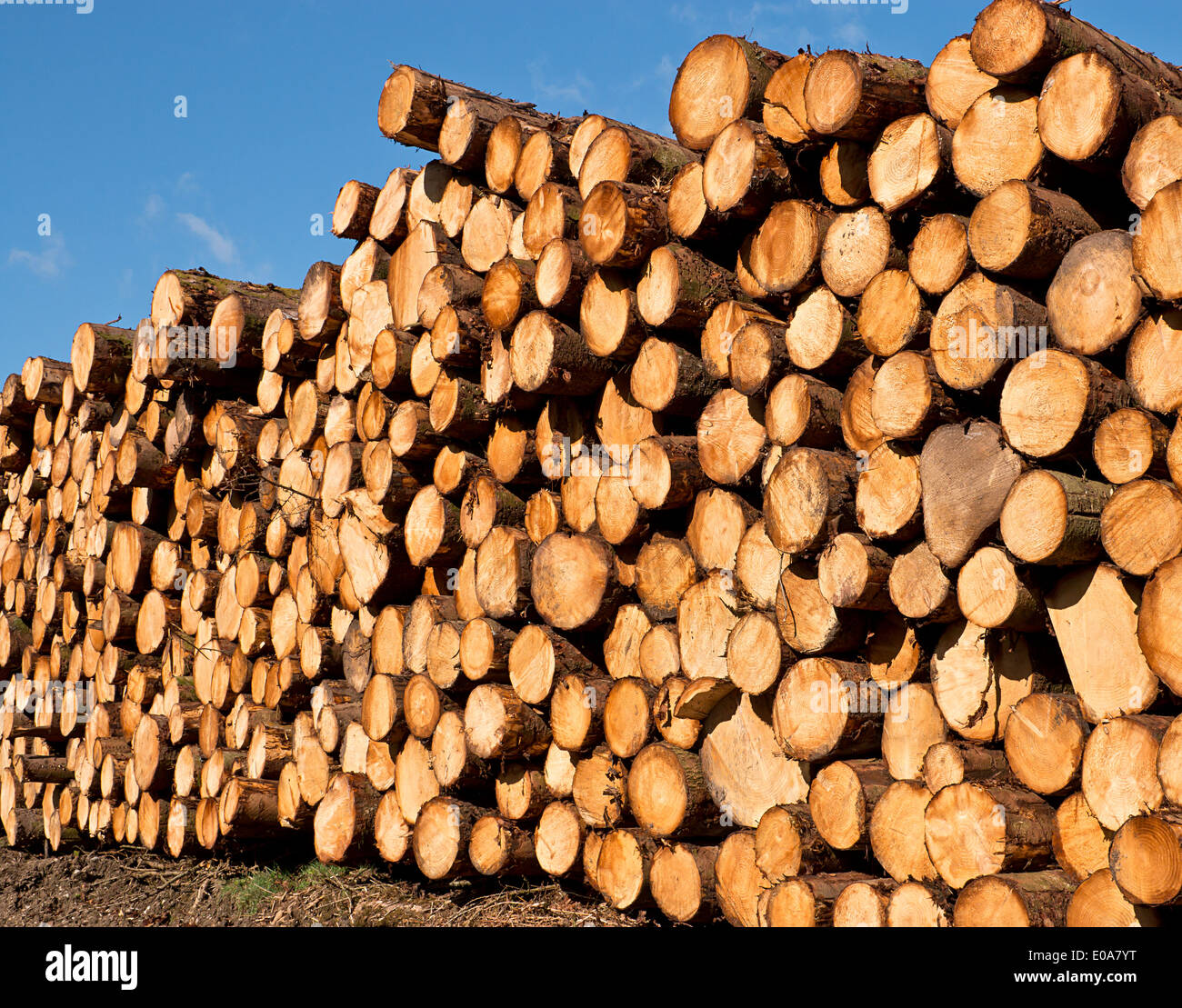 woodpile of freshly cut lumber awaiting distribution after seasoning for the forestry industry - Stock Image