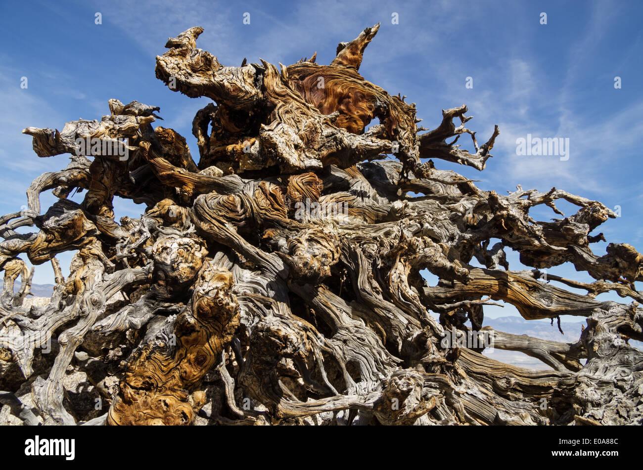 exposed and weathered pine tree root system with contorted branches - Stock Image